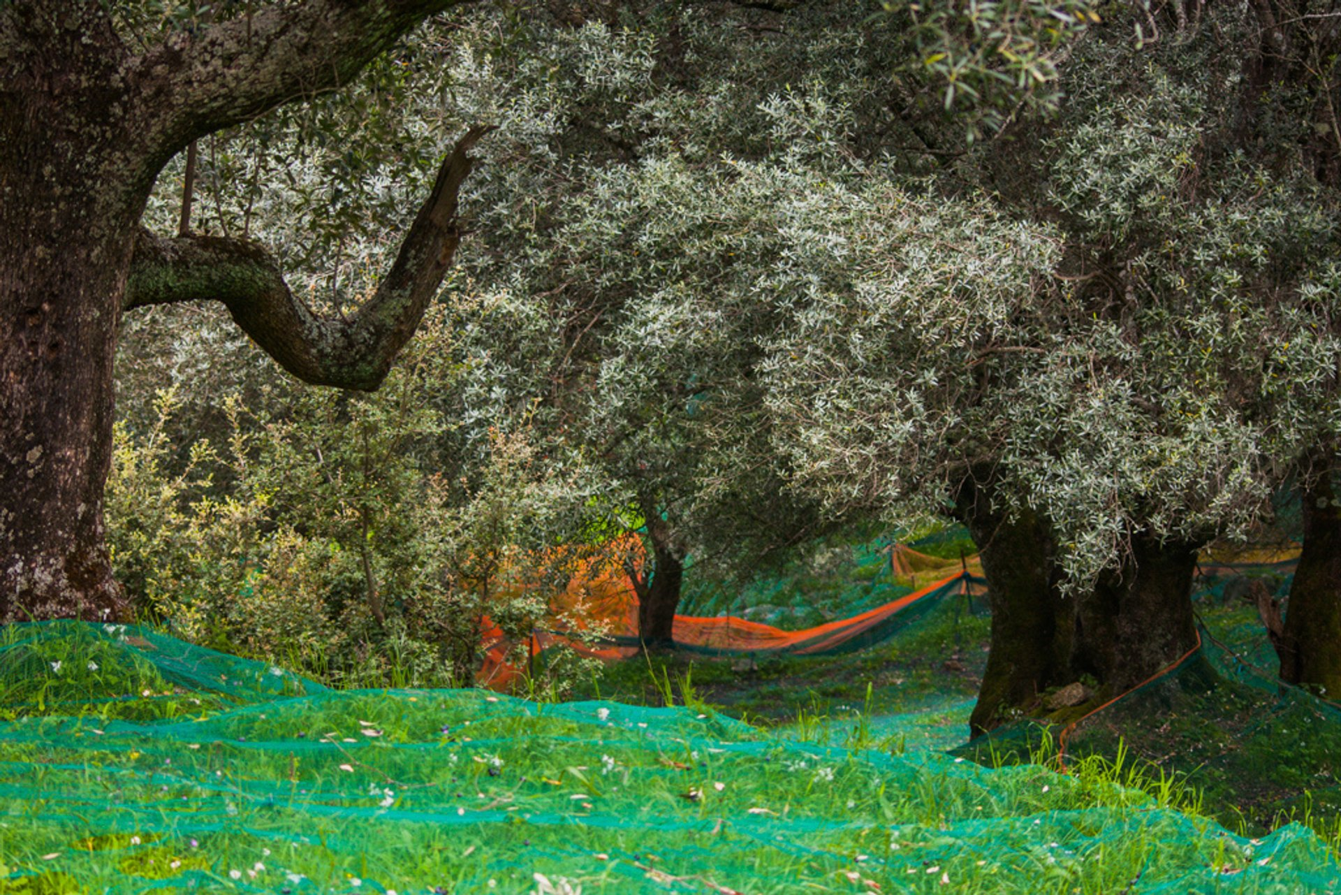 Best time for Olive Harvest in Corsica 2020