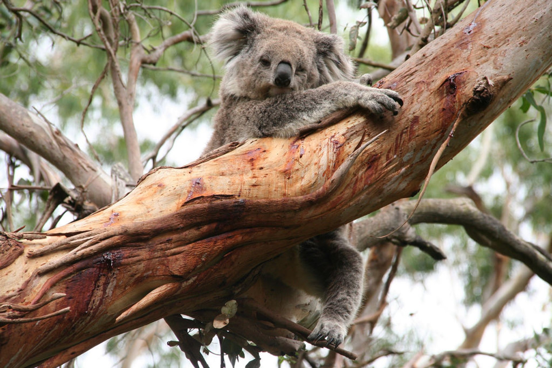 Best time for Koalas in Victoria 2019