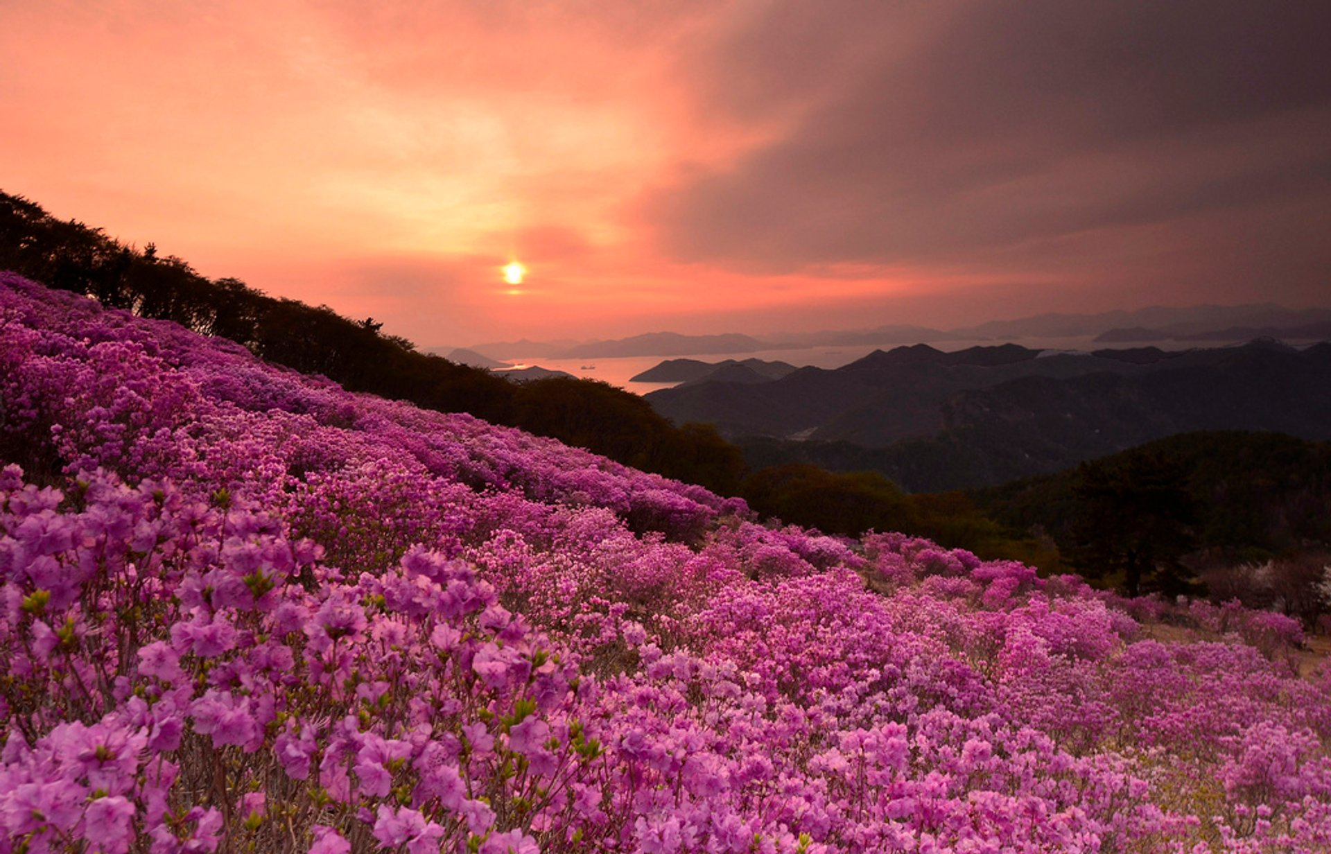 Azaleas in South Korea - Best Time