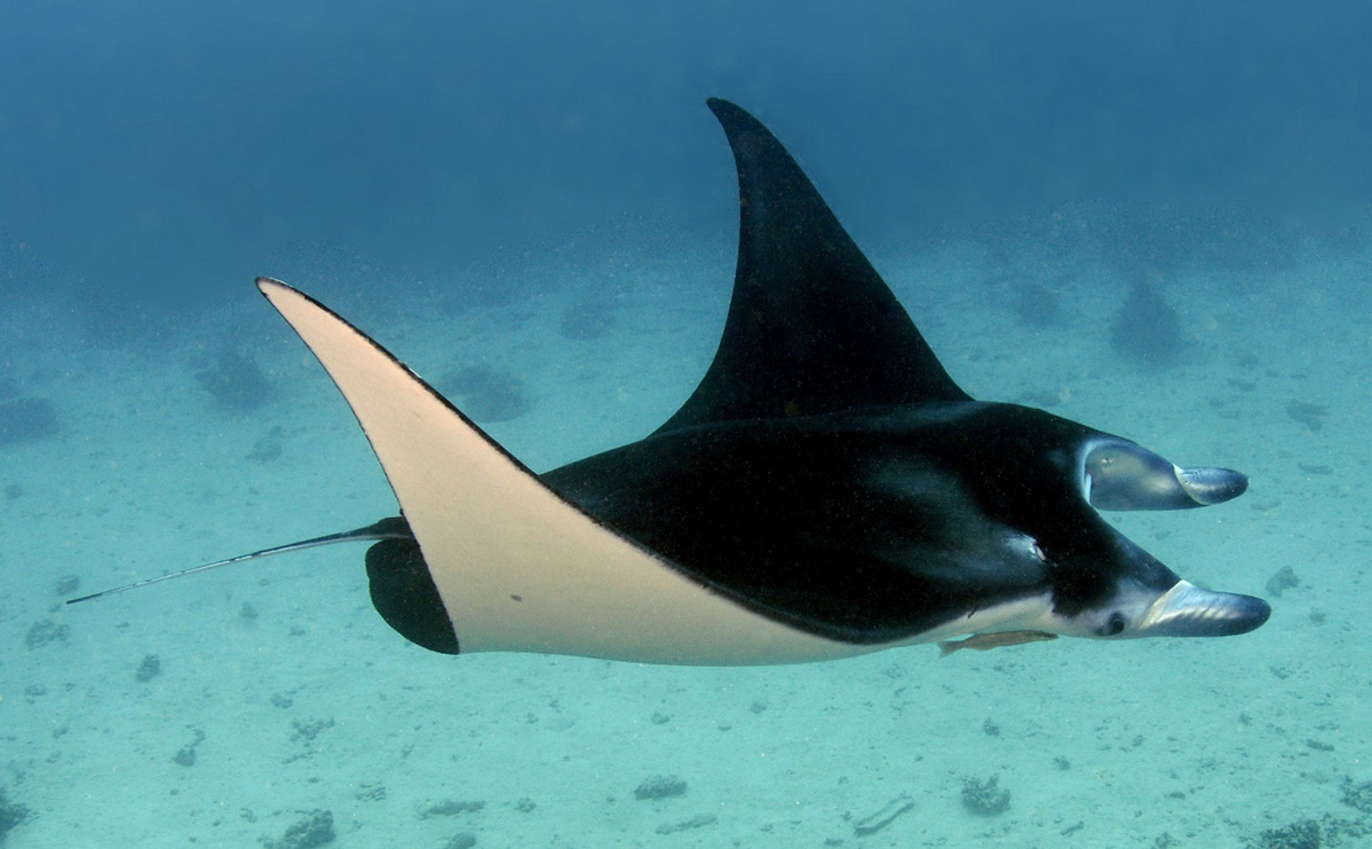 Diving & Swimming with Manta Rays in Bora Bora - Best Season 2020