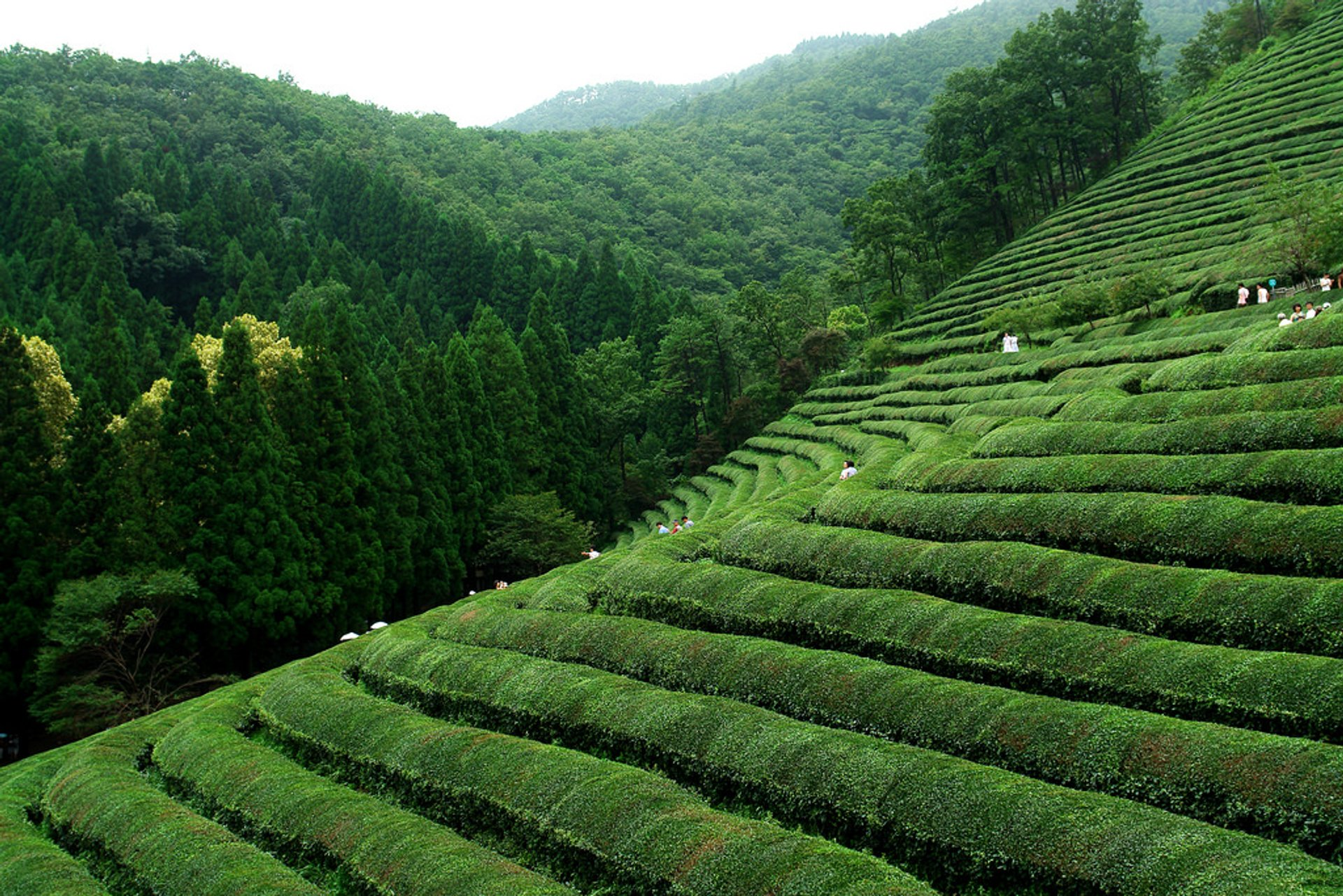 Boseong green tea fields 2020