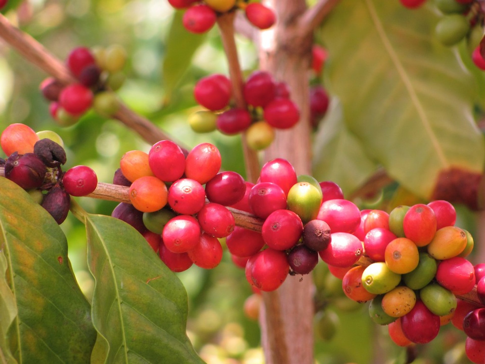 Kona Coffee Harvest in Hawaii 2019 - Best Time