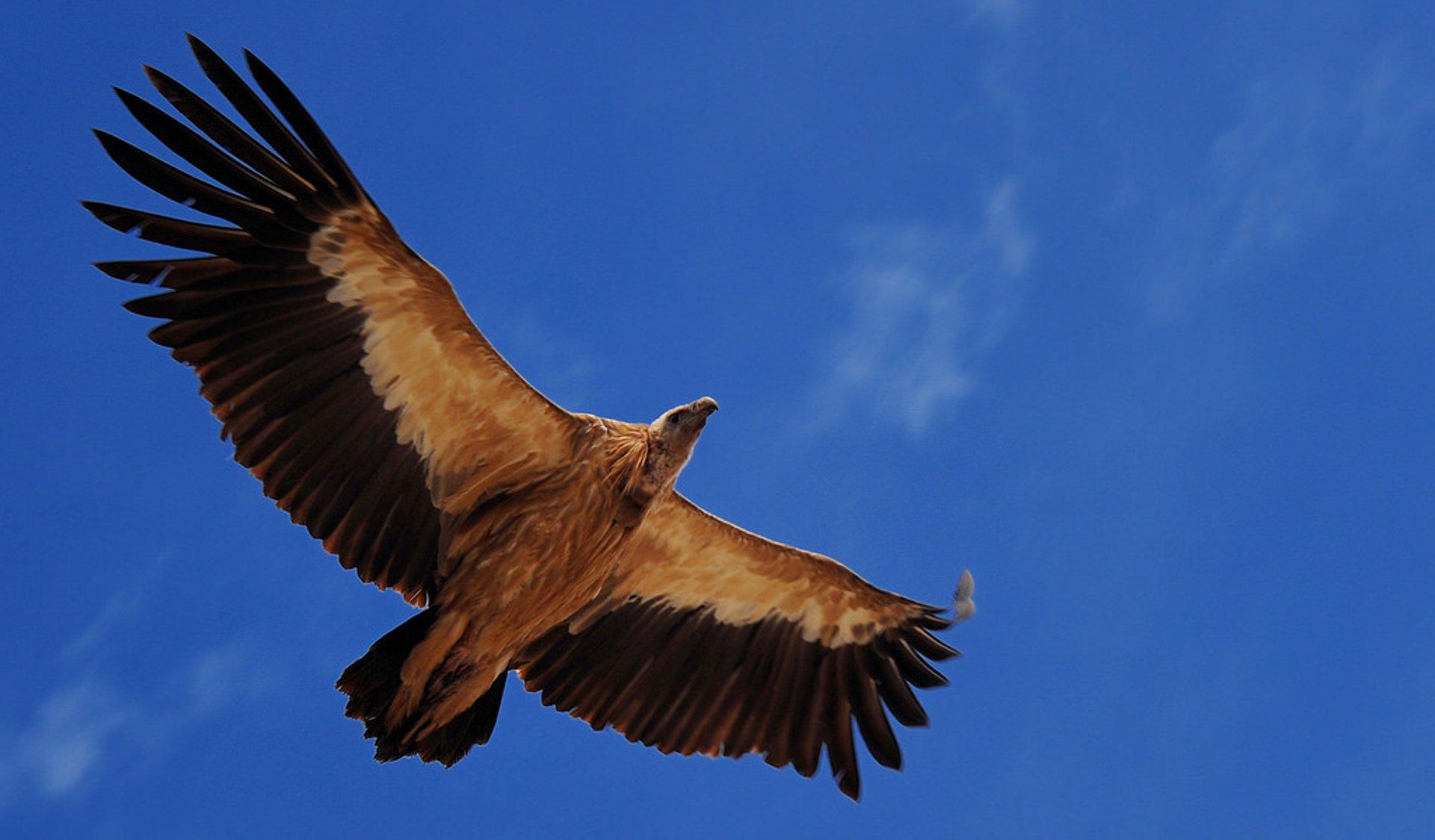 Vulture, the Sacred Bird of Tibet in Tibet - Best Season