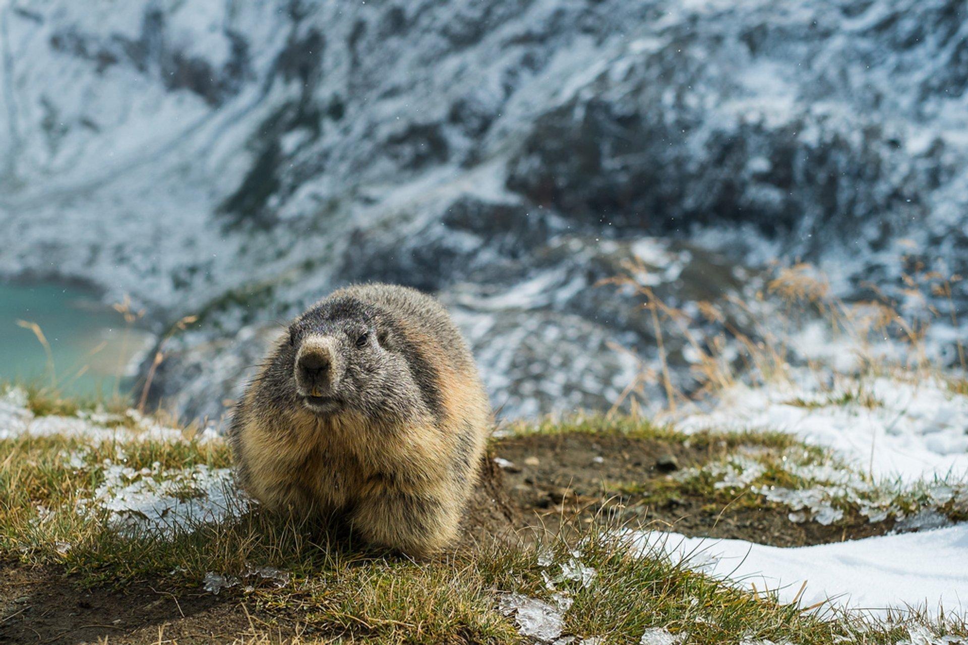 Marmot on Grossglockner, the highest mountain in the Alps 2020