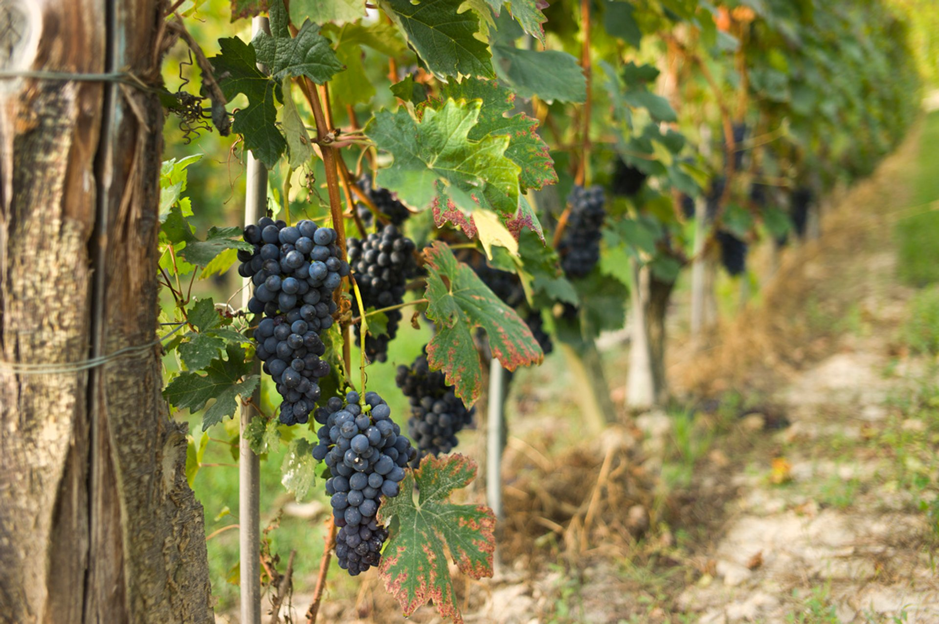 Best time for Vendemmia or Grape Harvest in Tuscany 2019