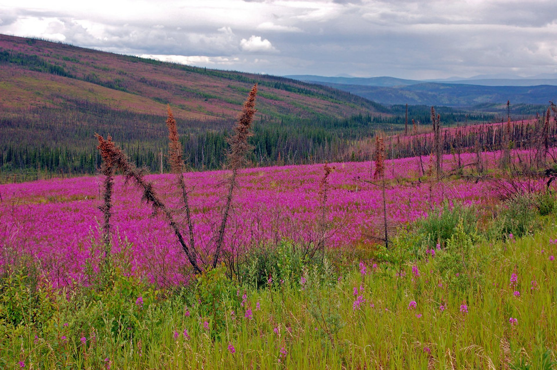 Fireweed and Shooting Stars Bloom in Alaska - Best Season 2020