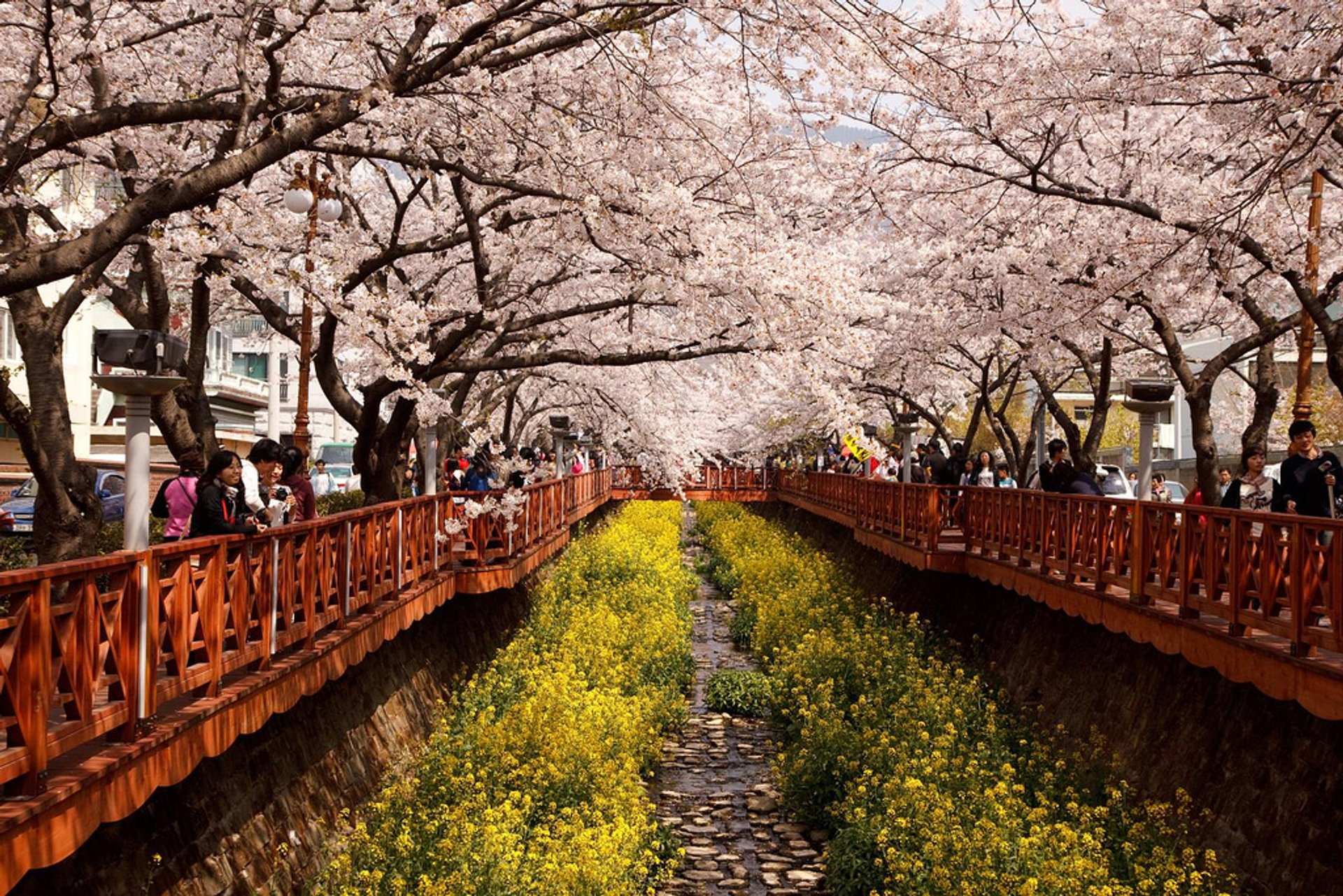 Cherry Blossom in Jinhae 2020