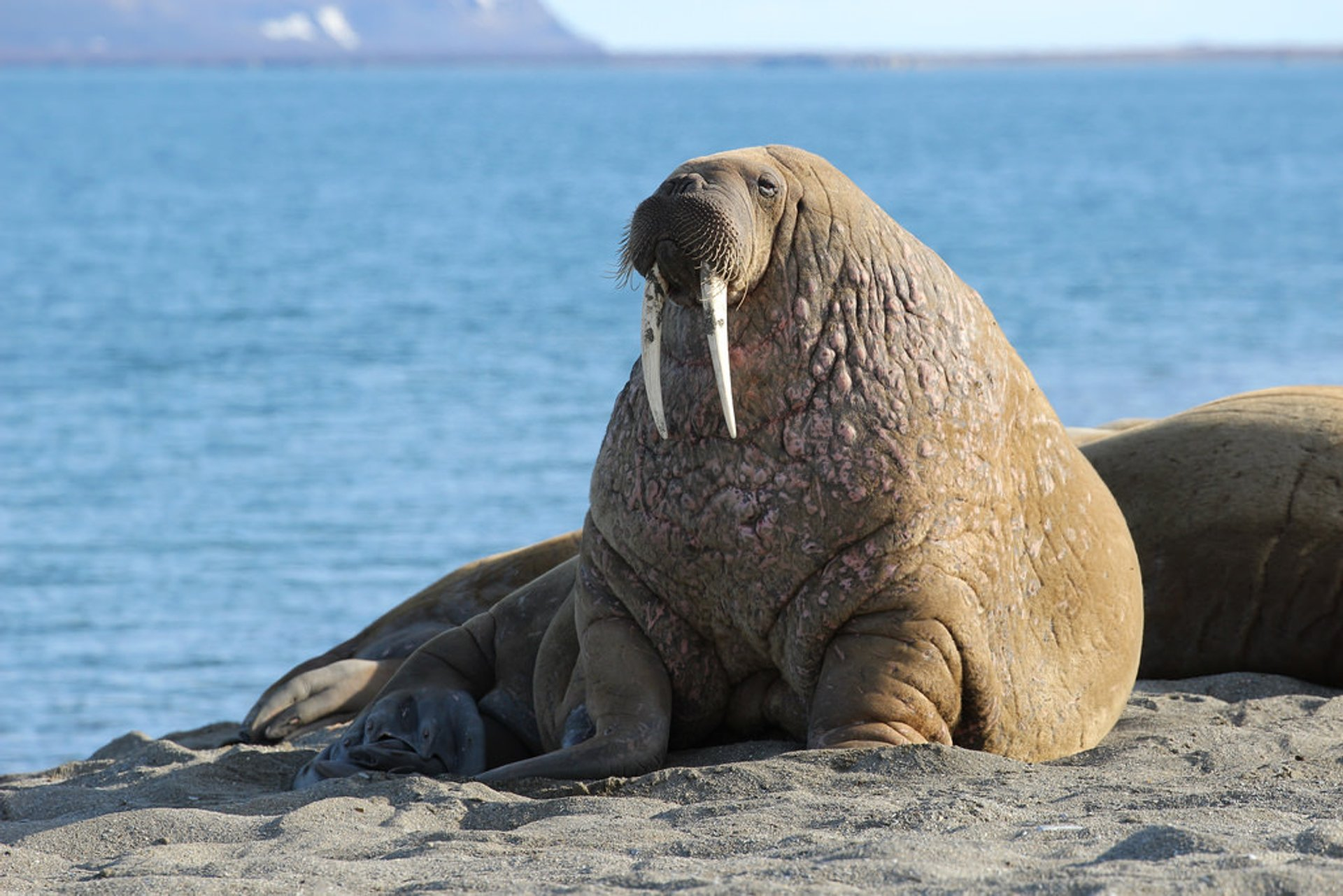 Walrus in Norway 2019 - Best Time
