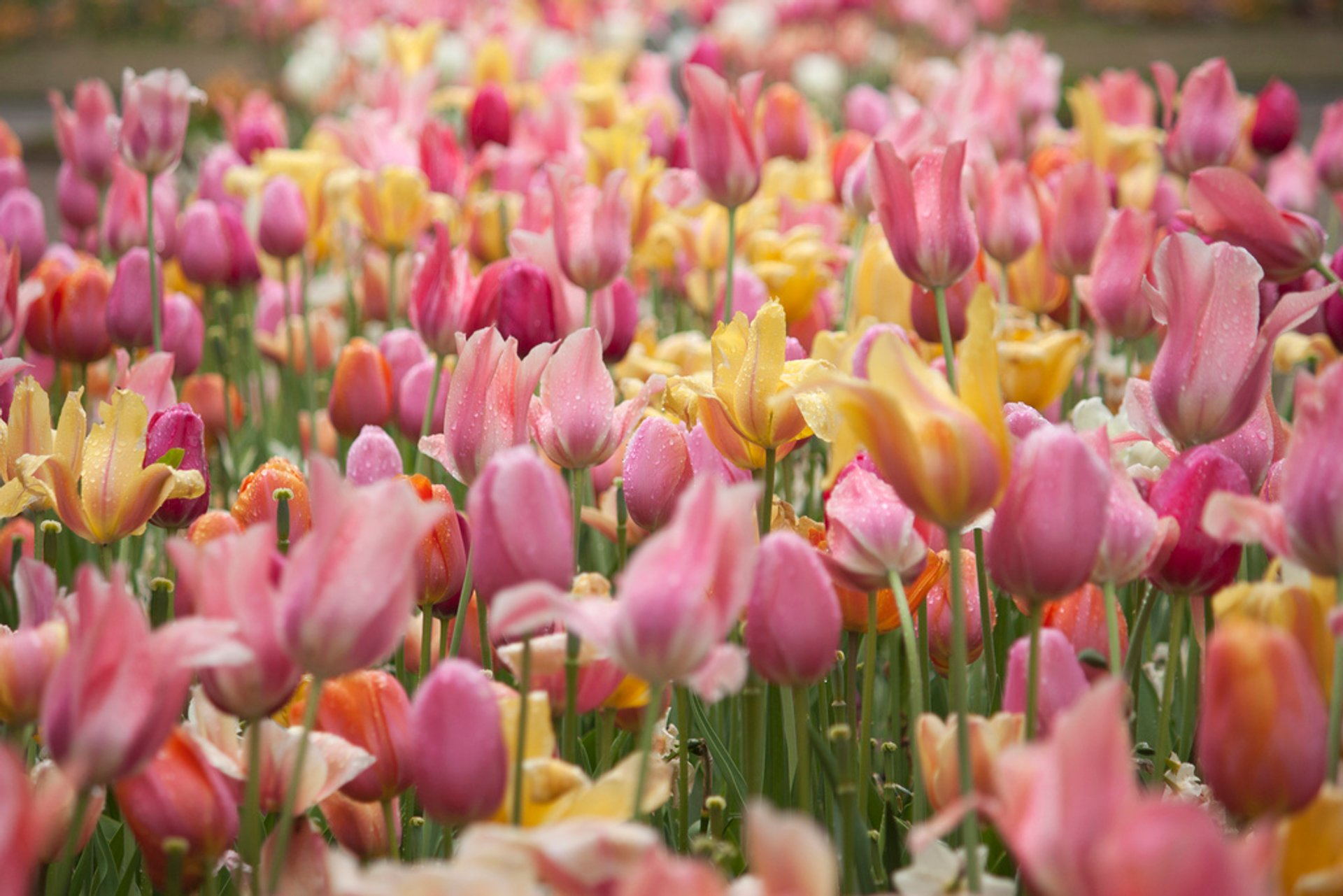 Best time to see Tulip Season in The Netherlands
