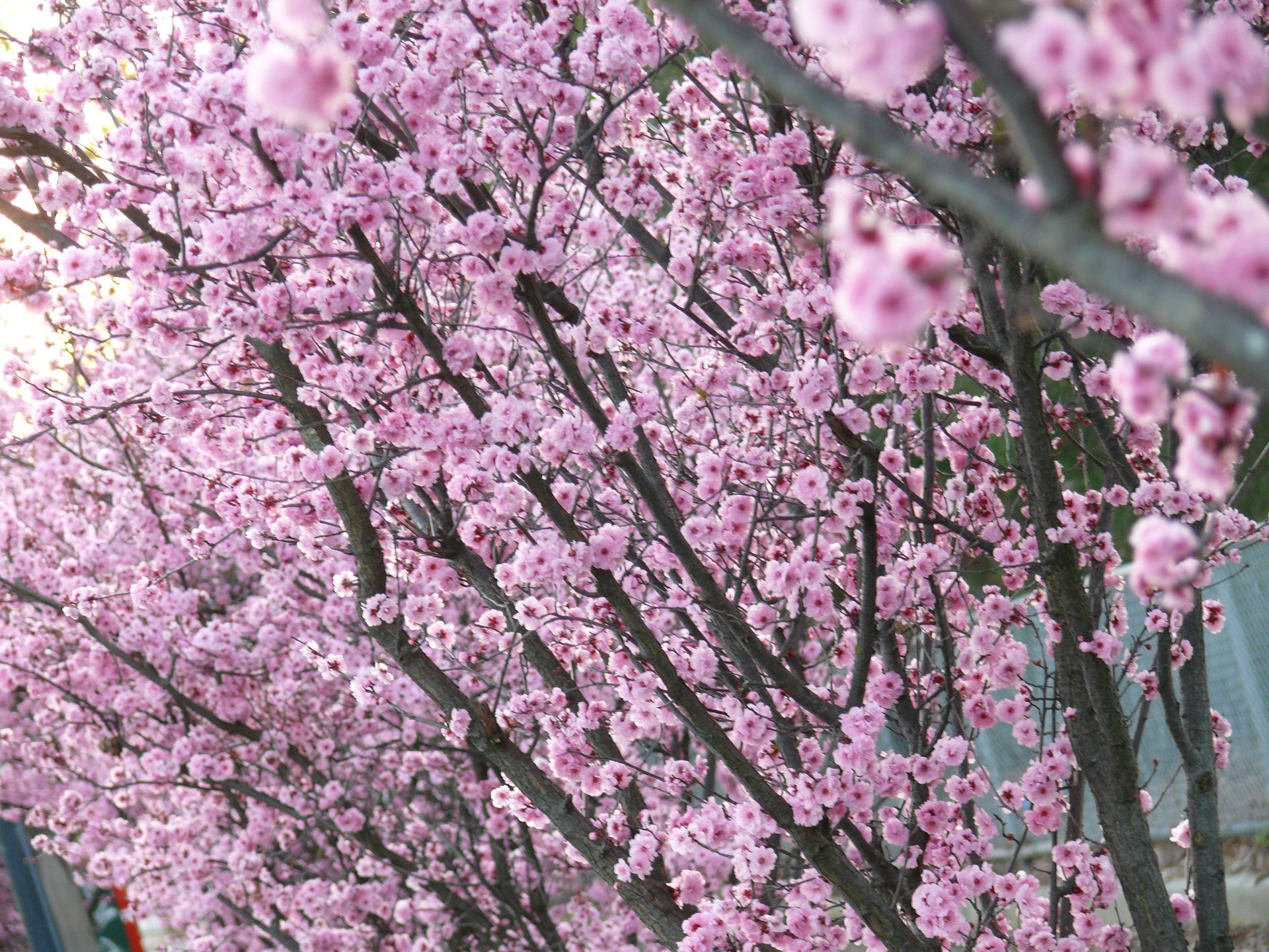 Pink plum blossom 2020