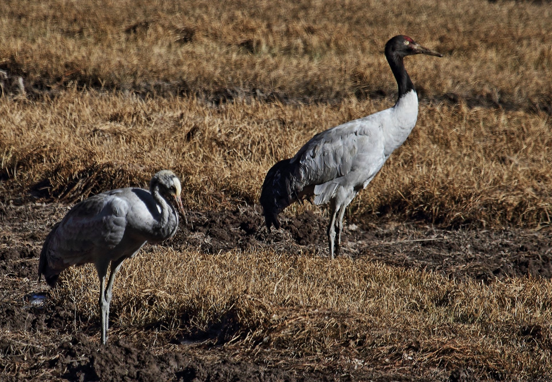 Black-Necked Cranes in Bhutan - Best Time