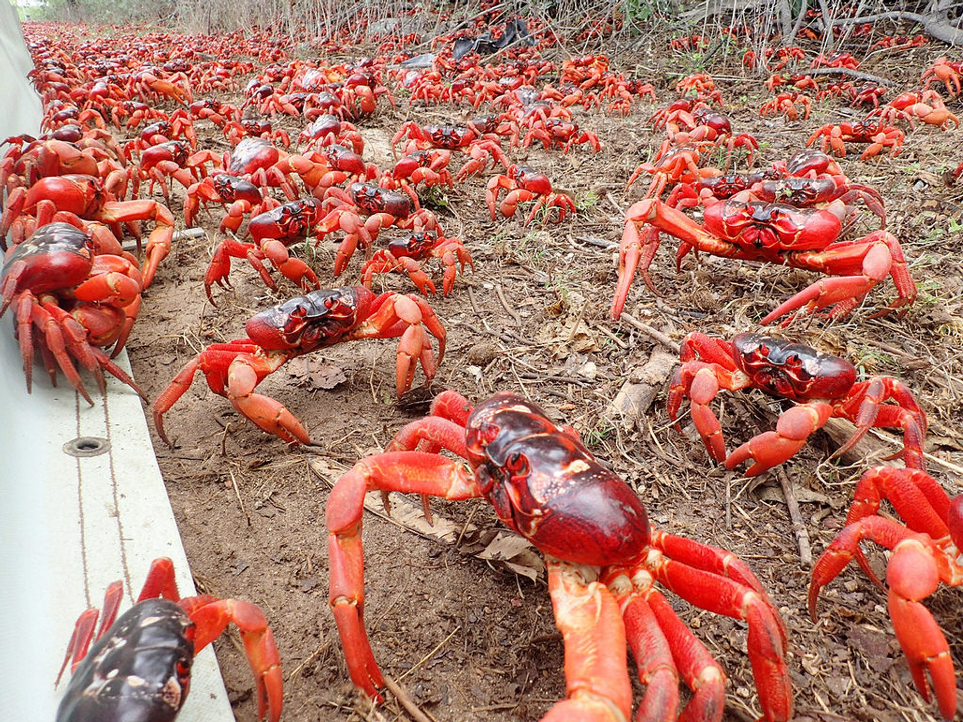 Red Crab Migration in Christmas Island - Best Season 2020