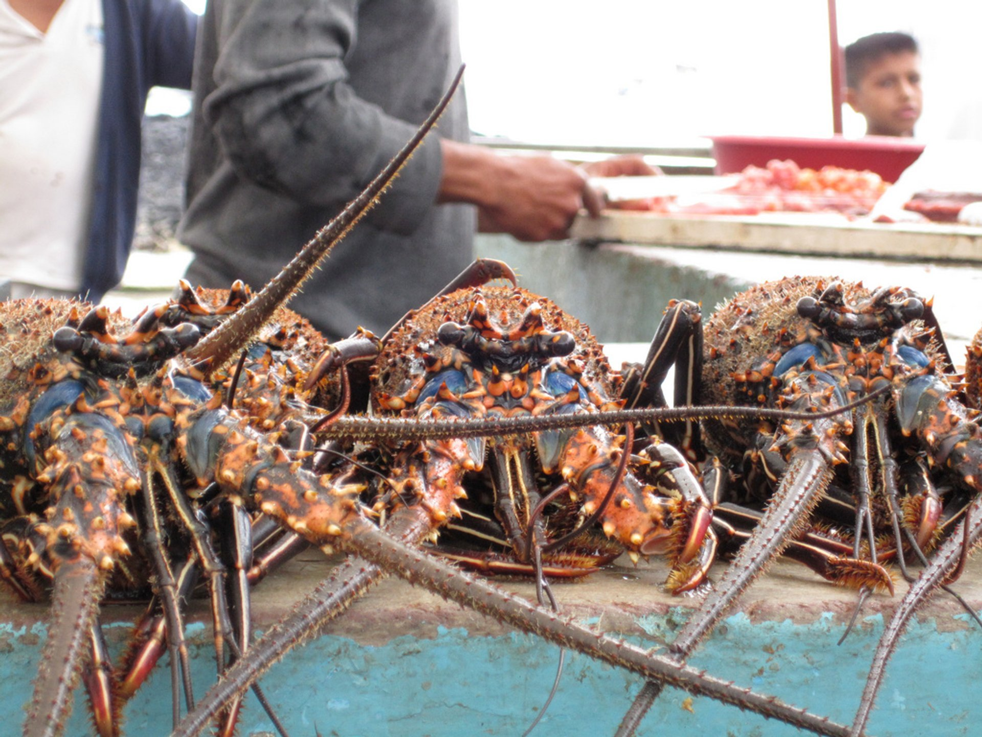 Lobsters Season in Galapagos Islands 2019 - Best Time