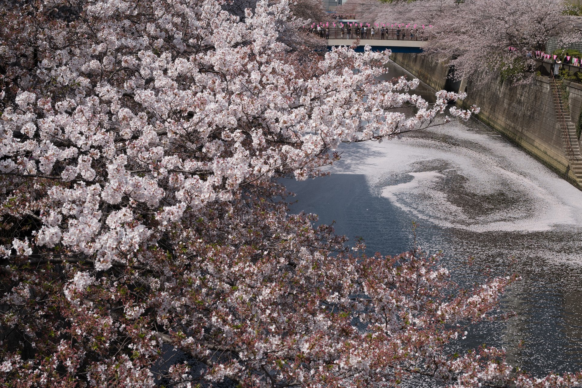 Best time for Cherry Blossom in Tokyo 2020