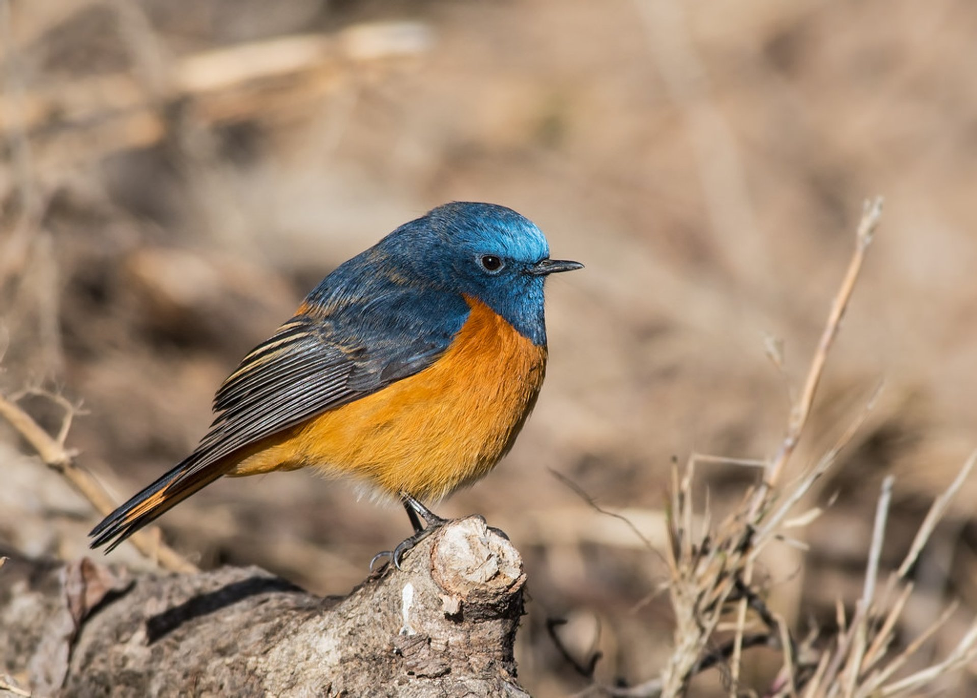 Blue-fronted Redstart 2020