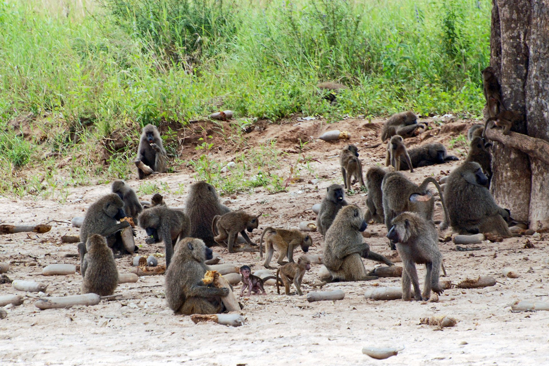 A troop of Olive Baboons