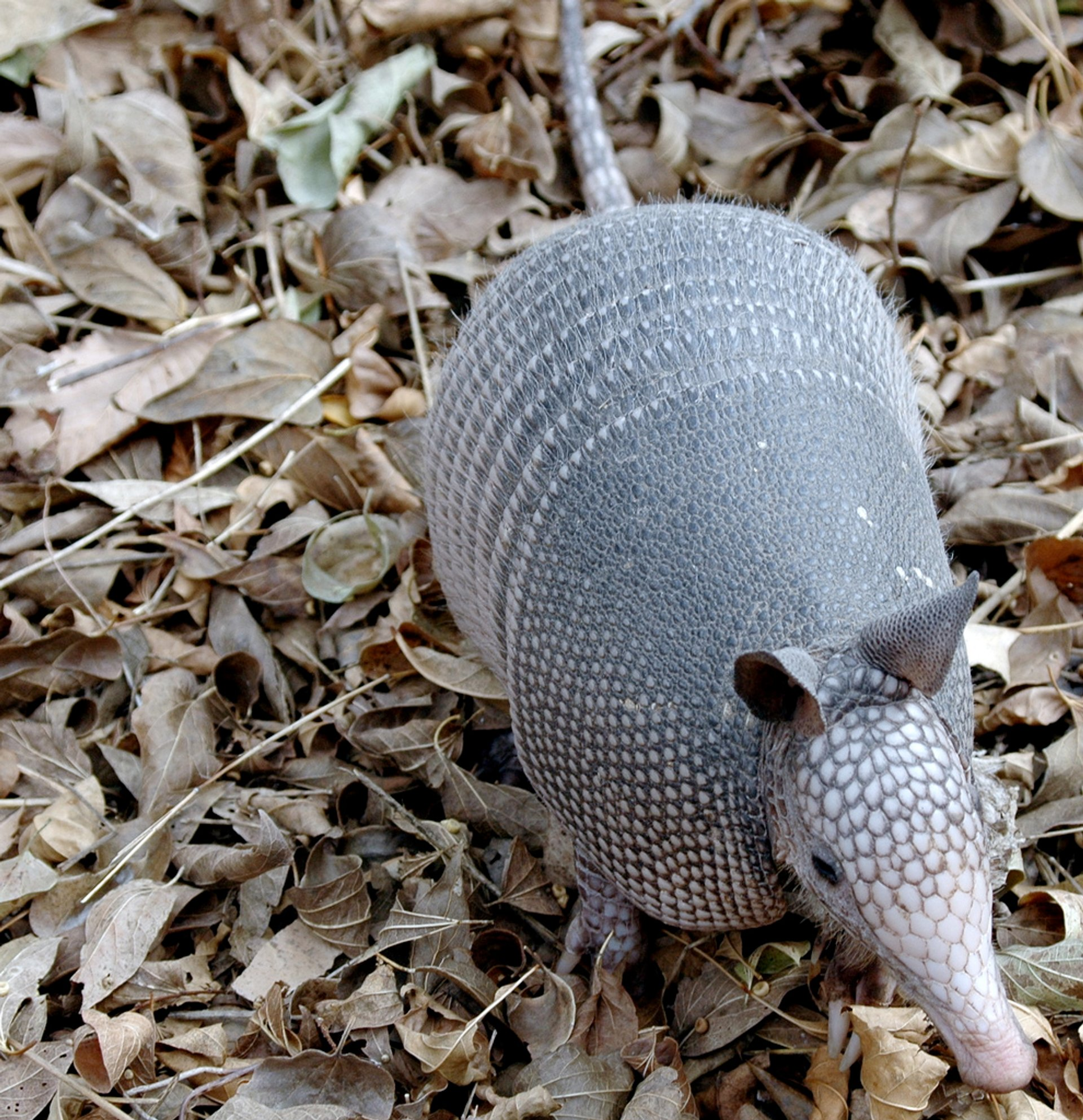 Armadillo at Greenbelt Trail, Denton, TX 2020