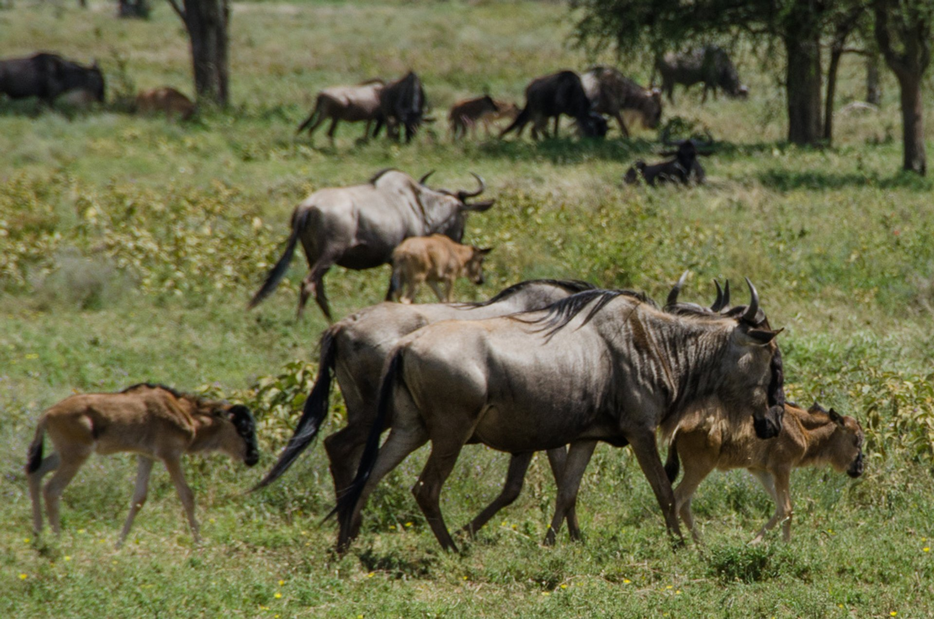 Wildebeest Calving in Serengeti in Tanzania - Best Season 2019