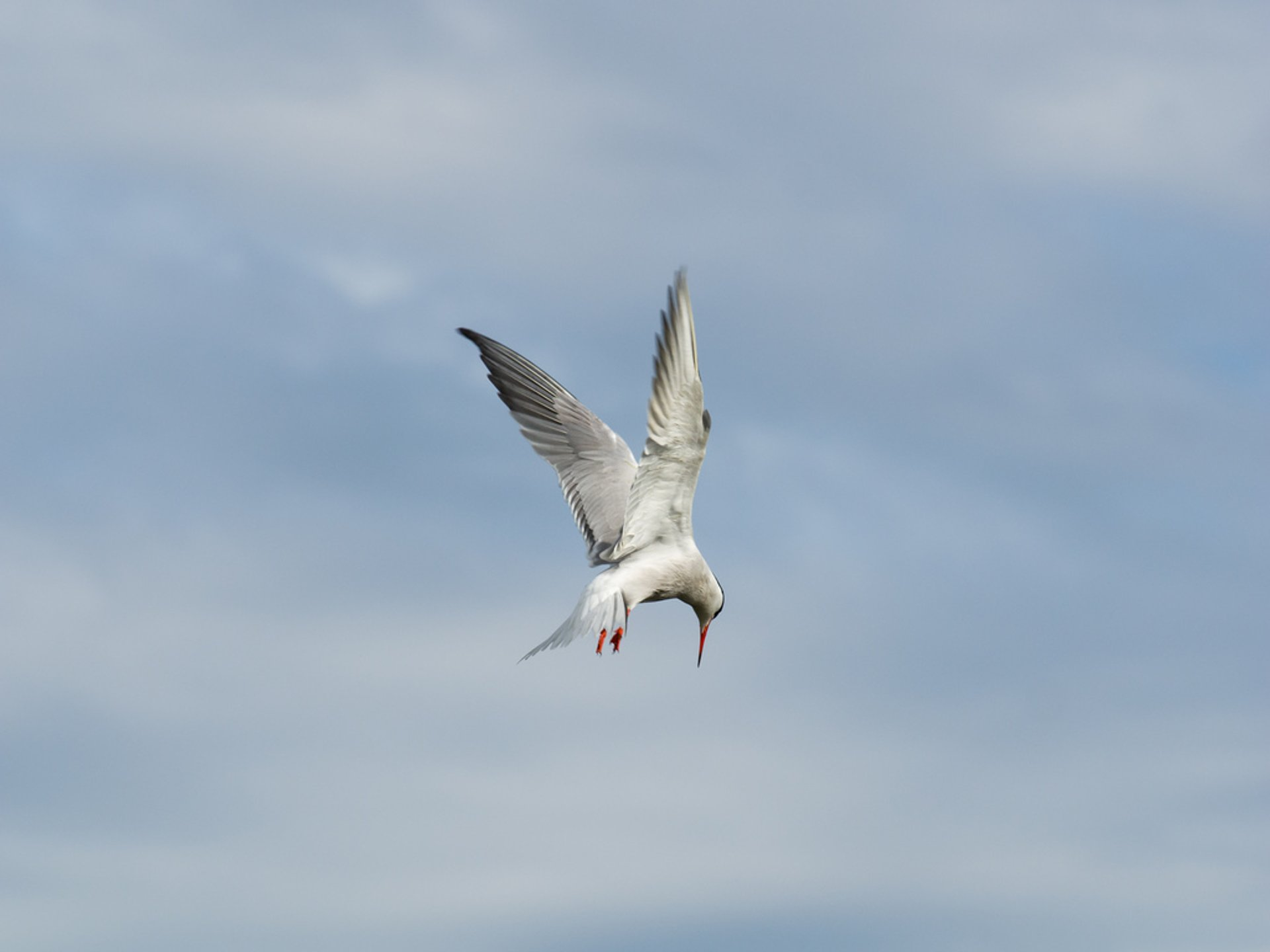 Common tern, diving 2020