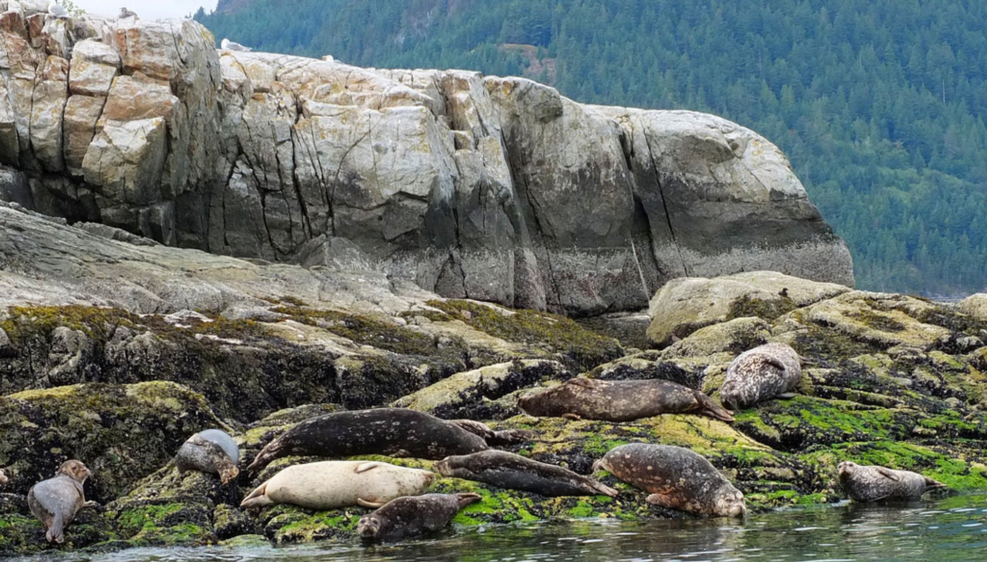 Seals in Howe Sound Trail, Sunset Beach, British Columbia, Canada 2020