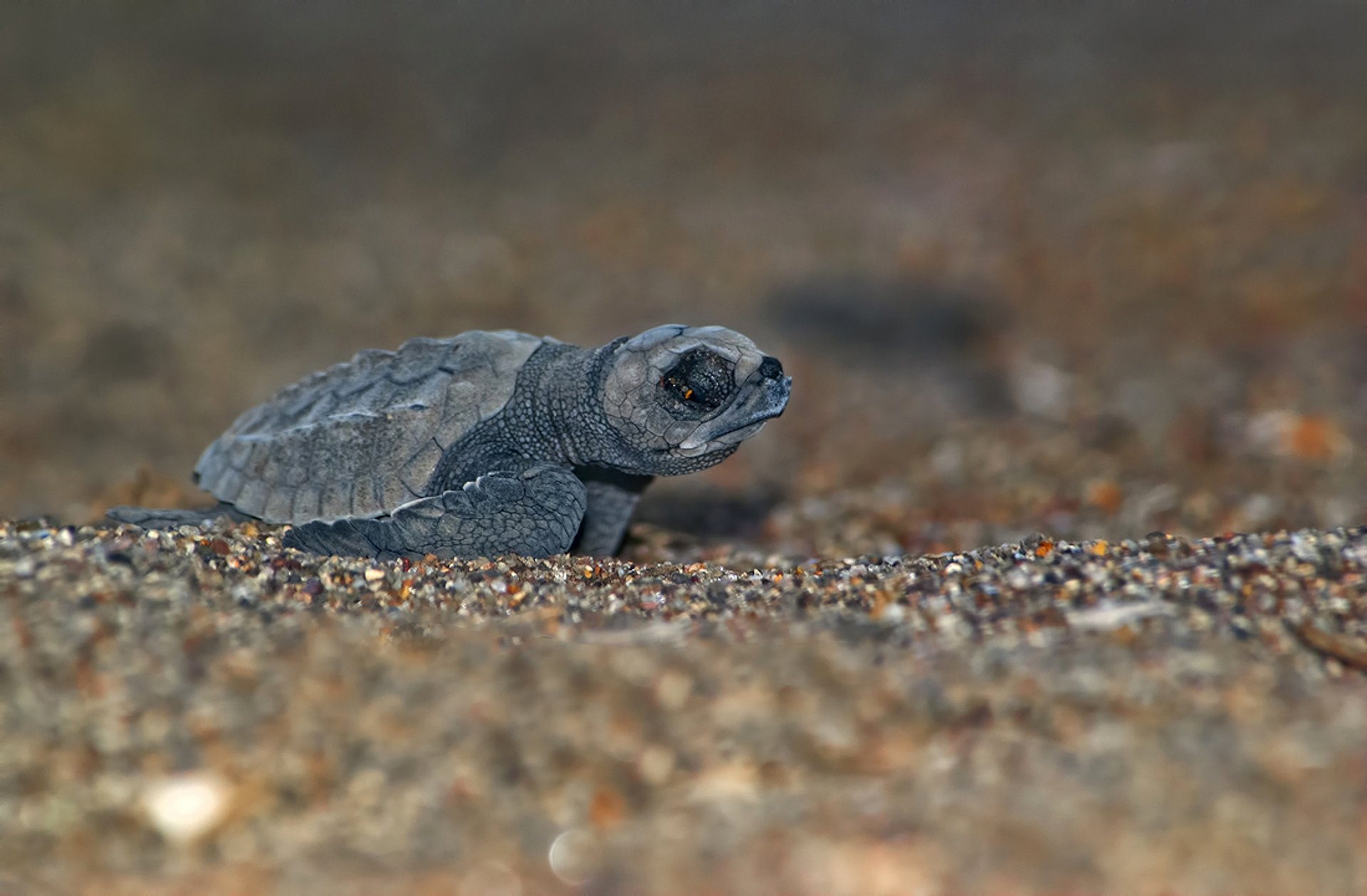 Best time for Sea Turtle Nesting and Hatching in Honduras 2020