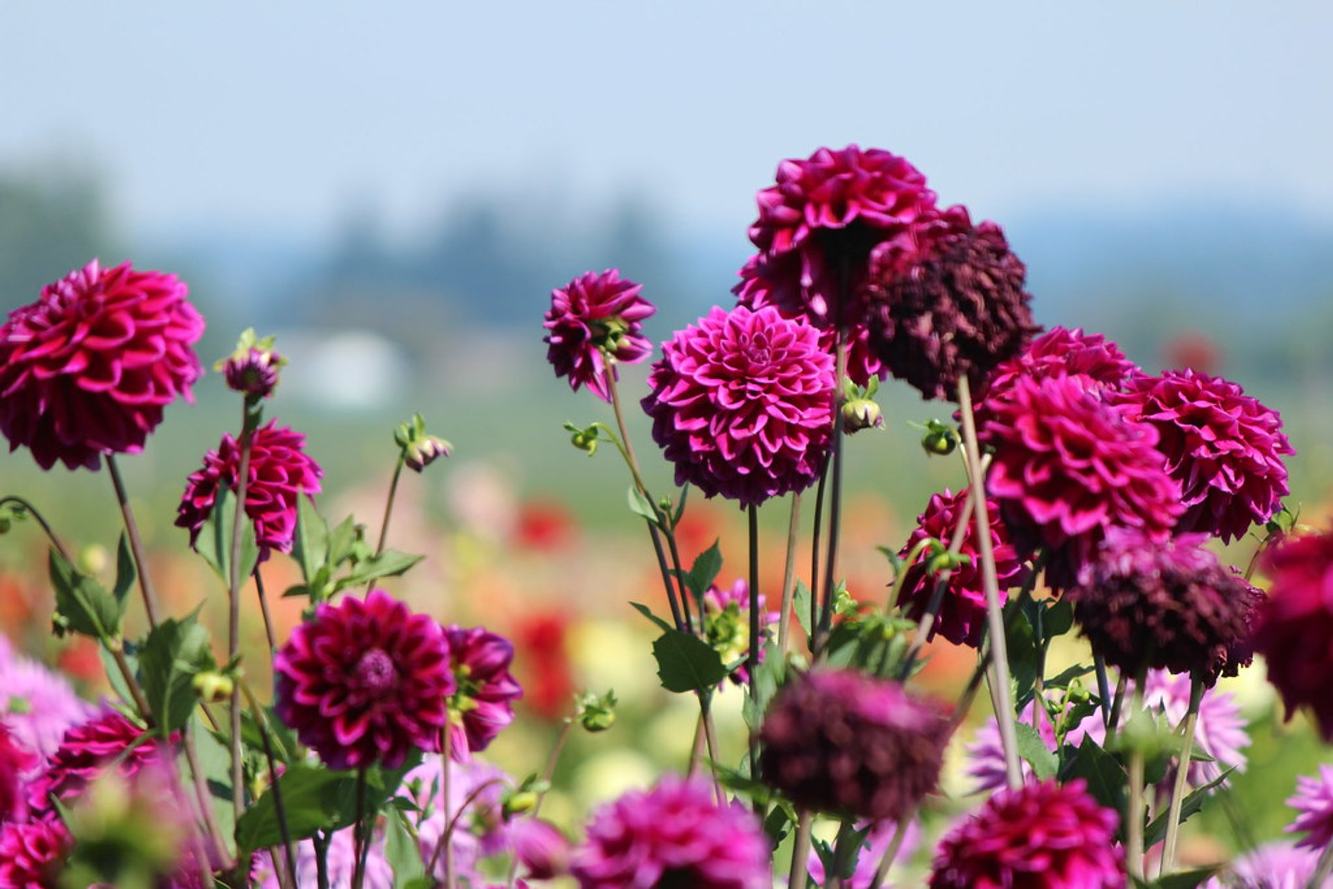 Best time to see Dahlia Festival in Oregon 2020