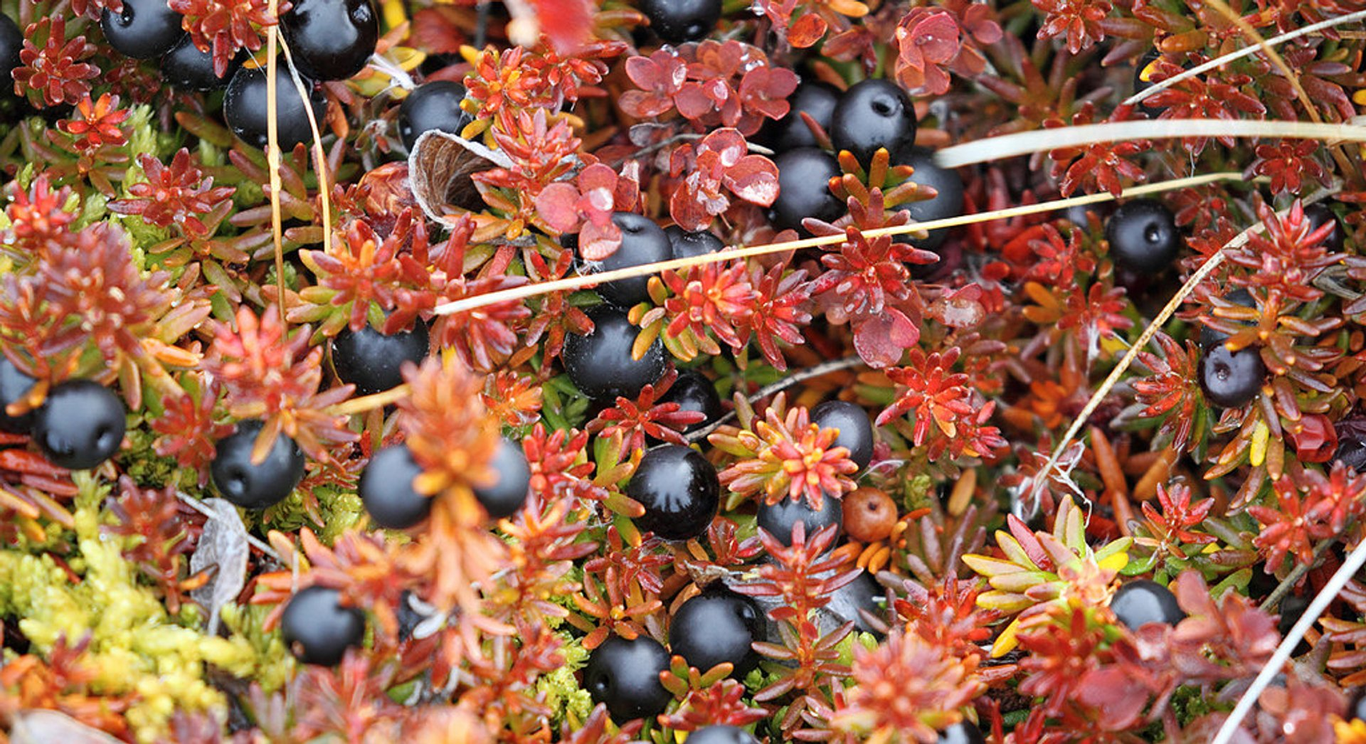 Crowberries near the Eqip Sermia glacier 2019