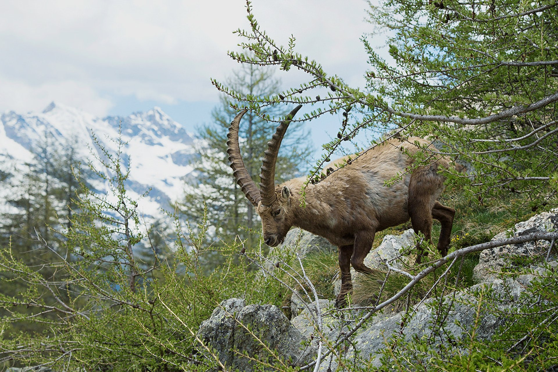 Alpine Ibex in Austria - Best Season 2020
