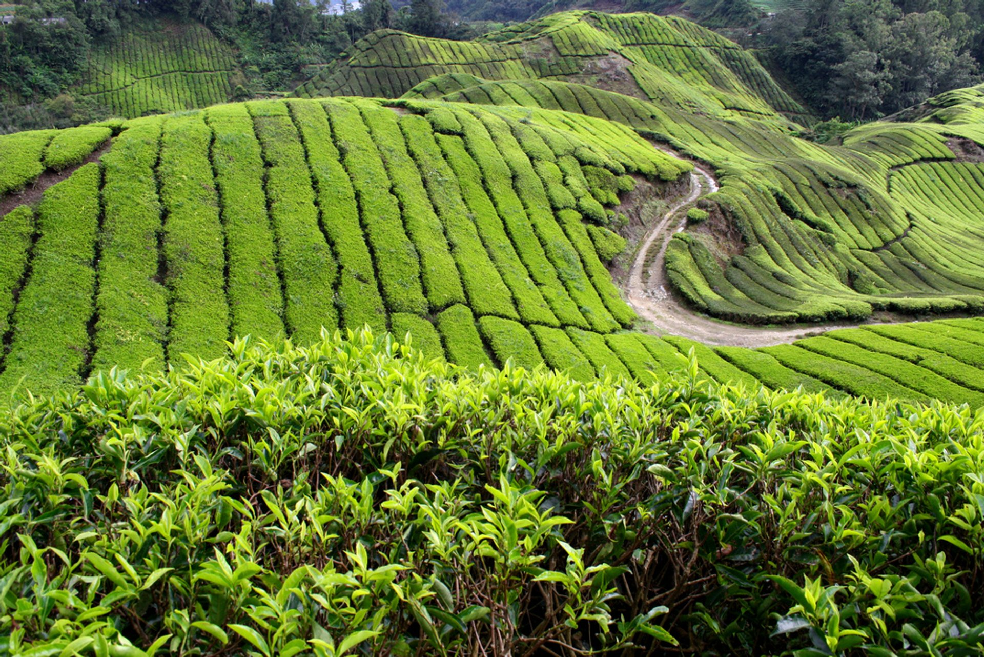 Tea Plantations and Pulled Tea in Malaysia 2019 - Best Time