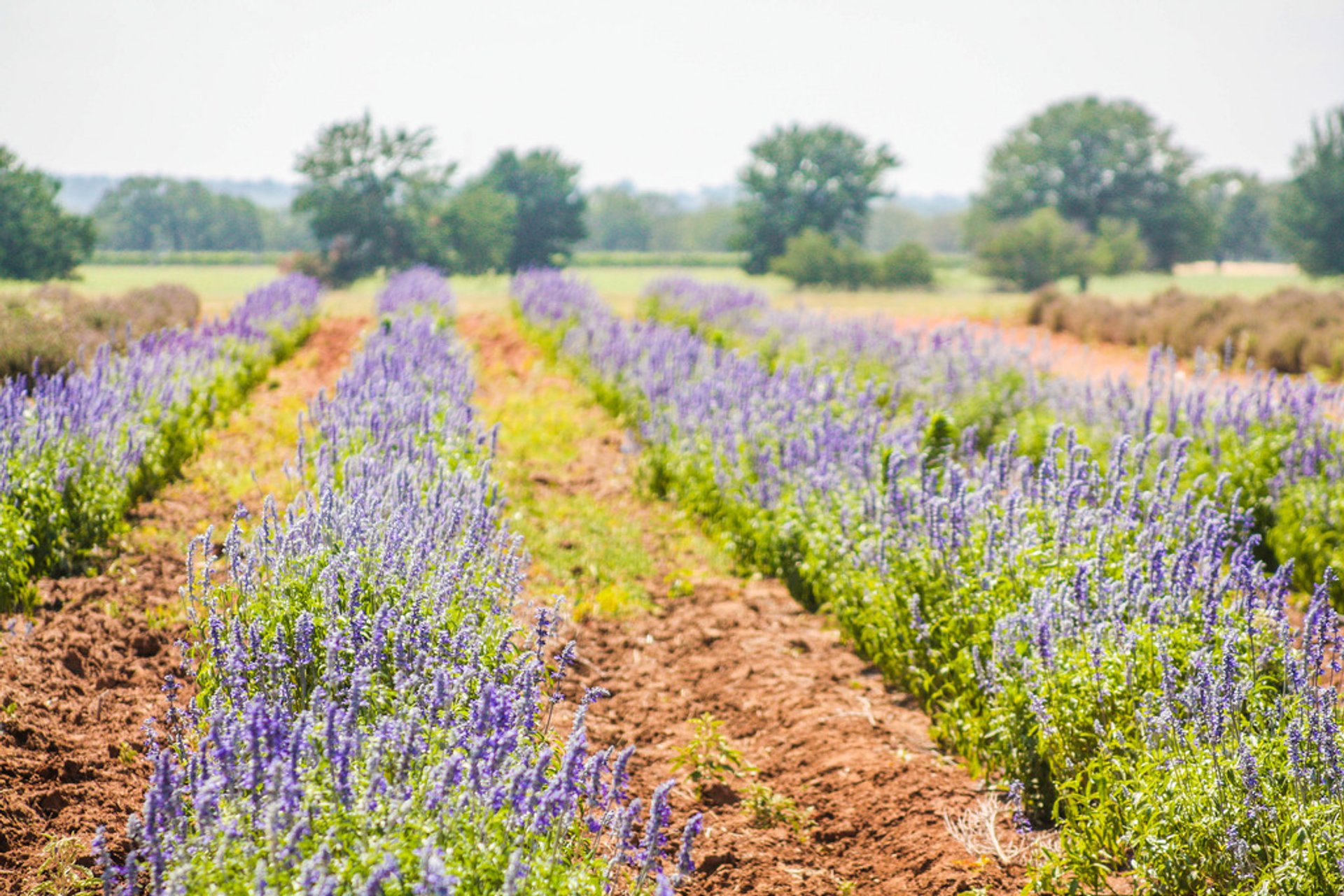 Becker Vineyard Lavender Field 2020