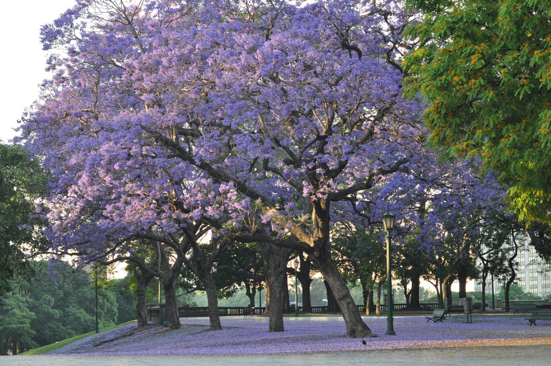 Jacaranda Bloom in Buenos Aires - Best Season 2020