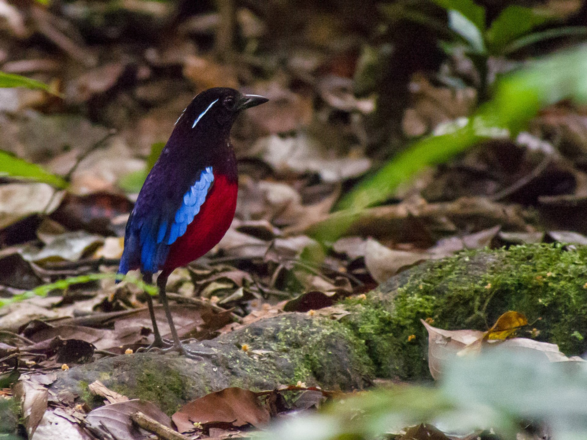 Black-crowned pitta 2019