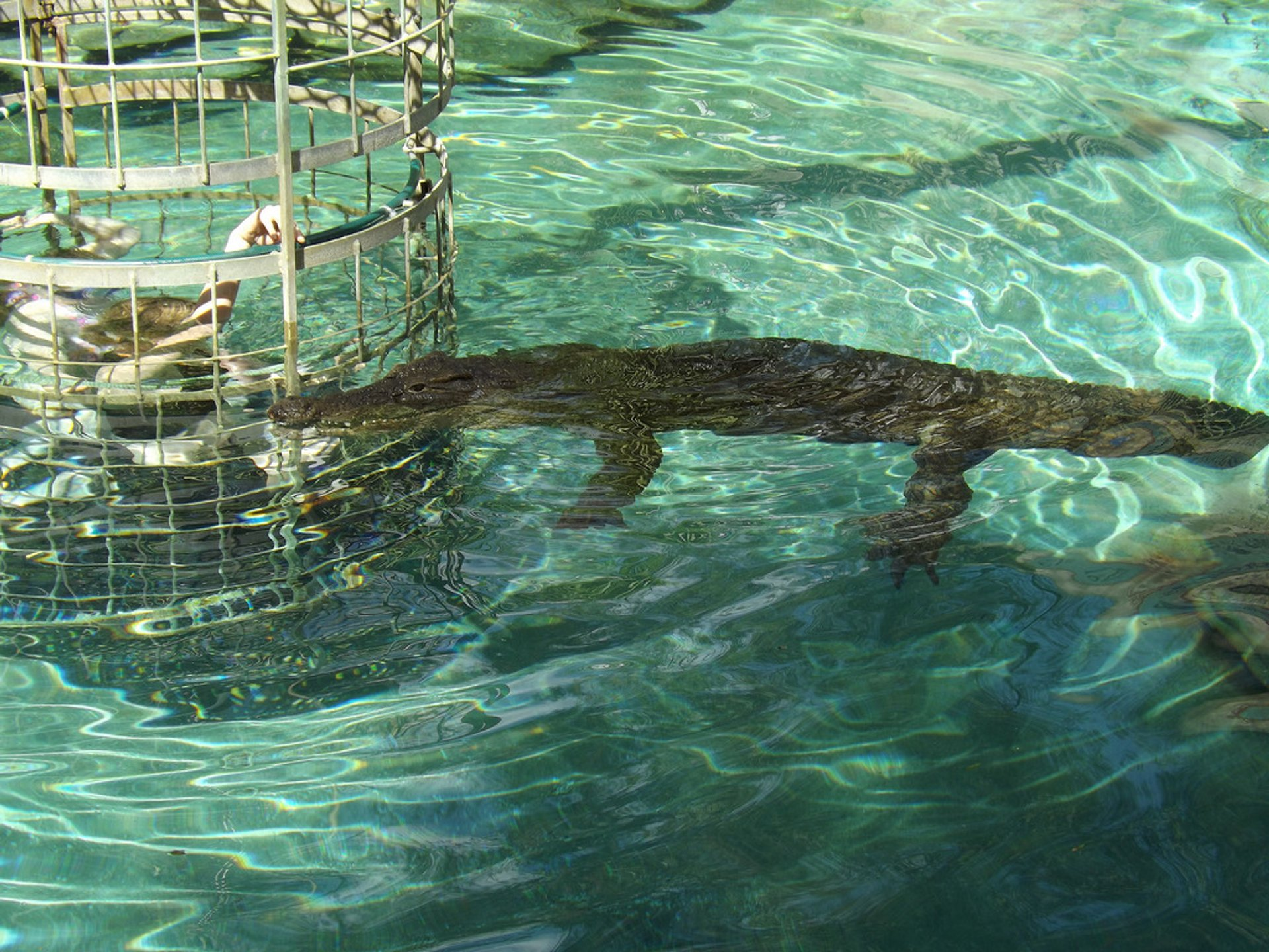 Croc Cage Diving in South Africa - Best Season 2020