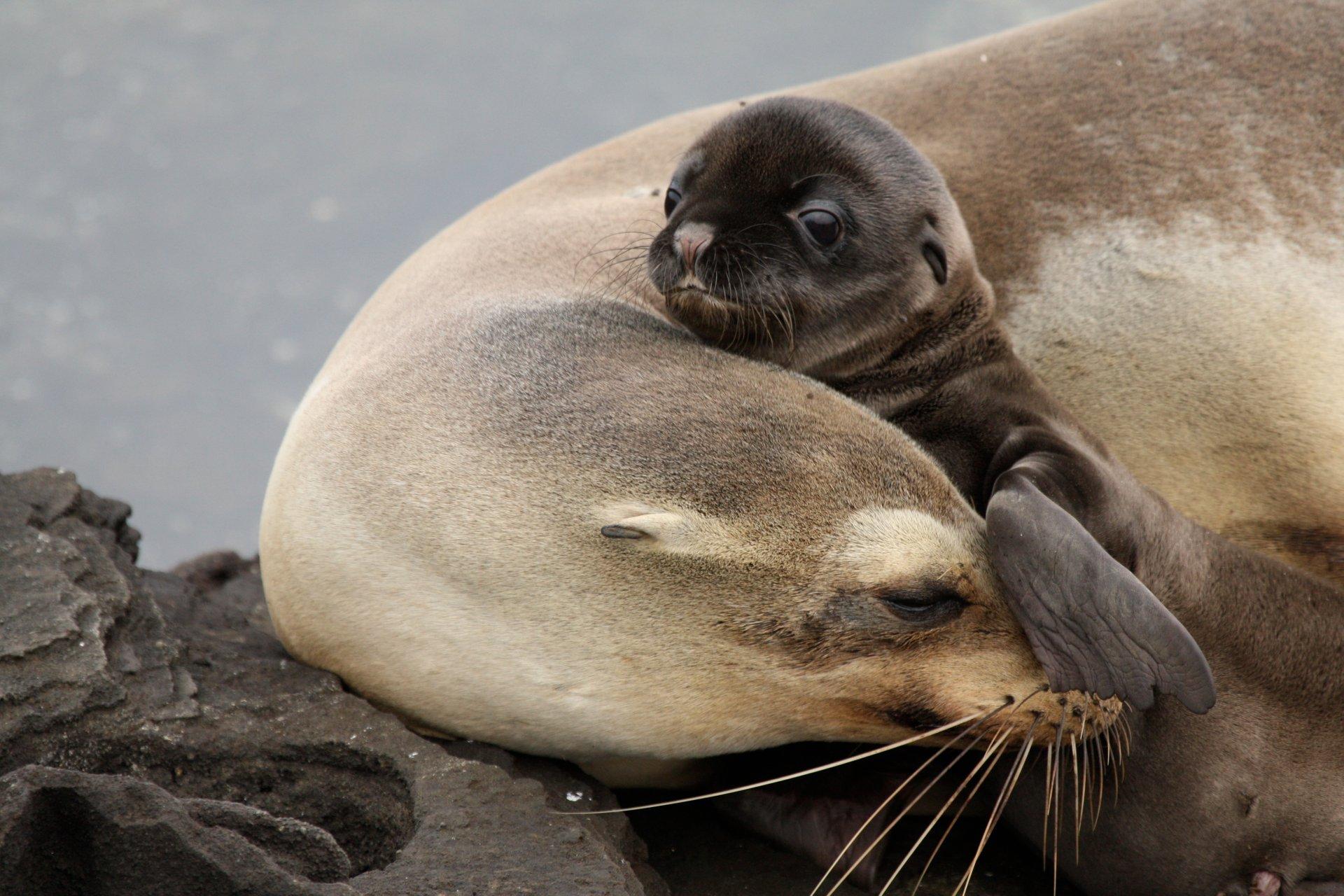 Sea Lion Baby and Mom at Santa Cruz, Galapagos, Ecuador 2020
