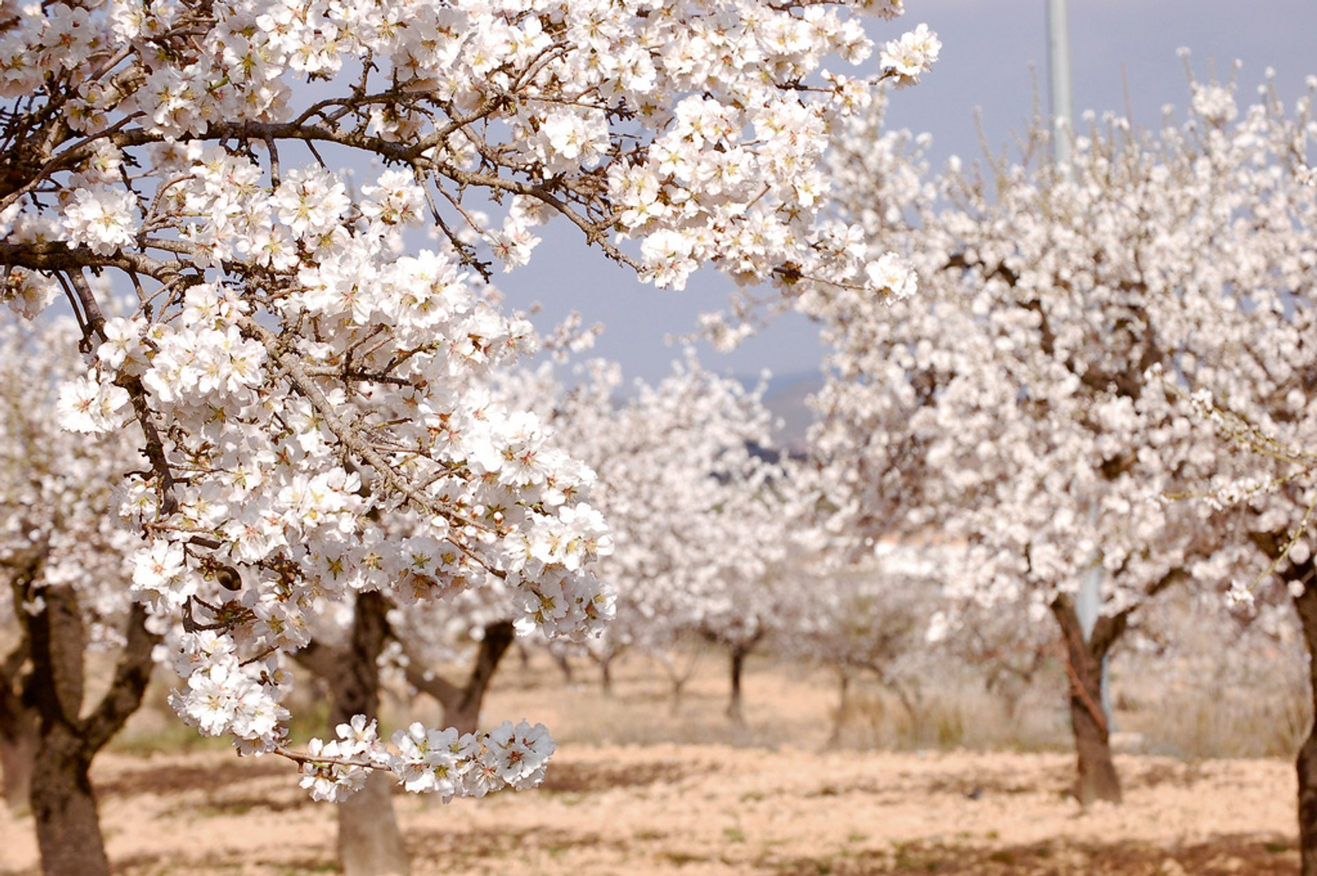 Almond Trees in Bloom in Corsica - Best Season 2020