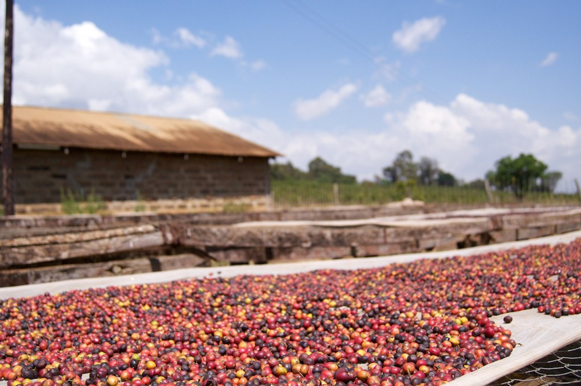 Best time for Coffee Harvest in Kenya 2019