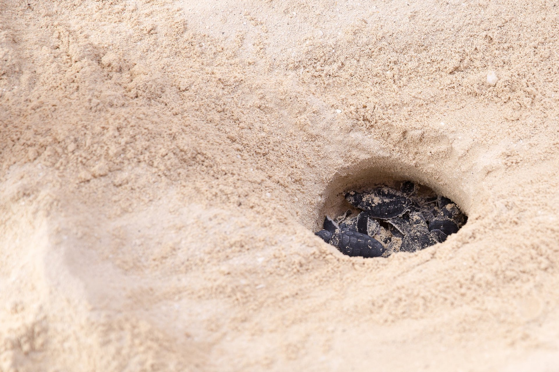 Turtle Nesting and Hatching in Cancun - Best Season 2020