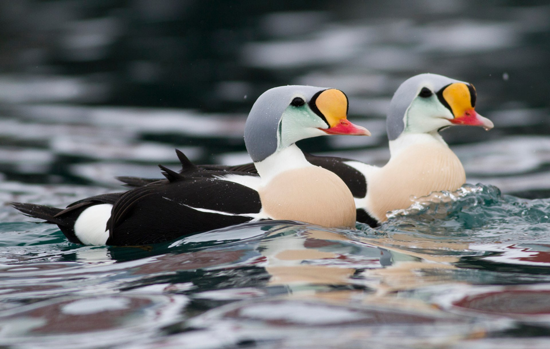 Best time for Arctic Sea Ducks in Norway 2020
