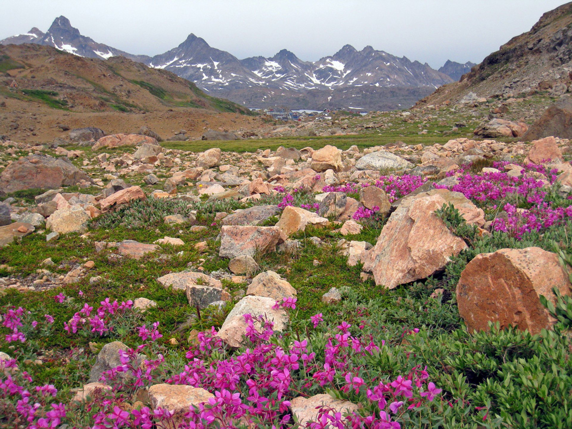 Flower Valleys Blooming in Greenland 2019 - Best Time