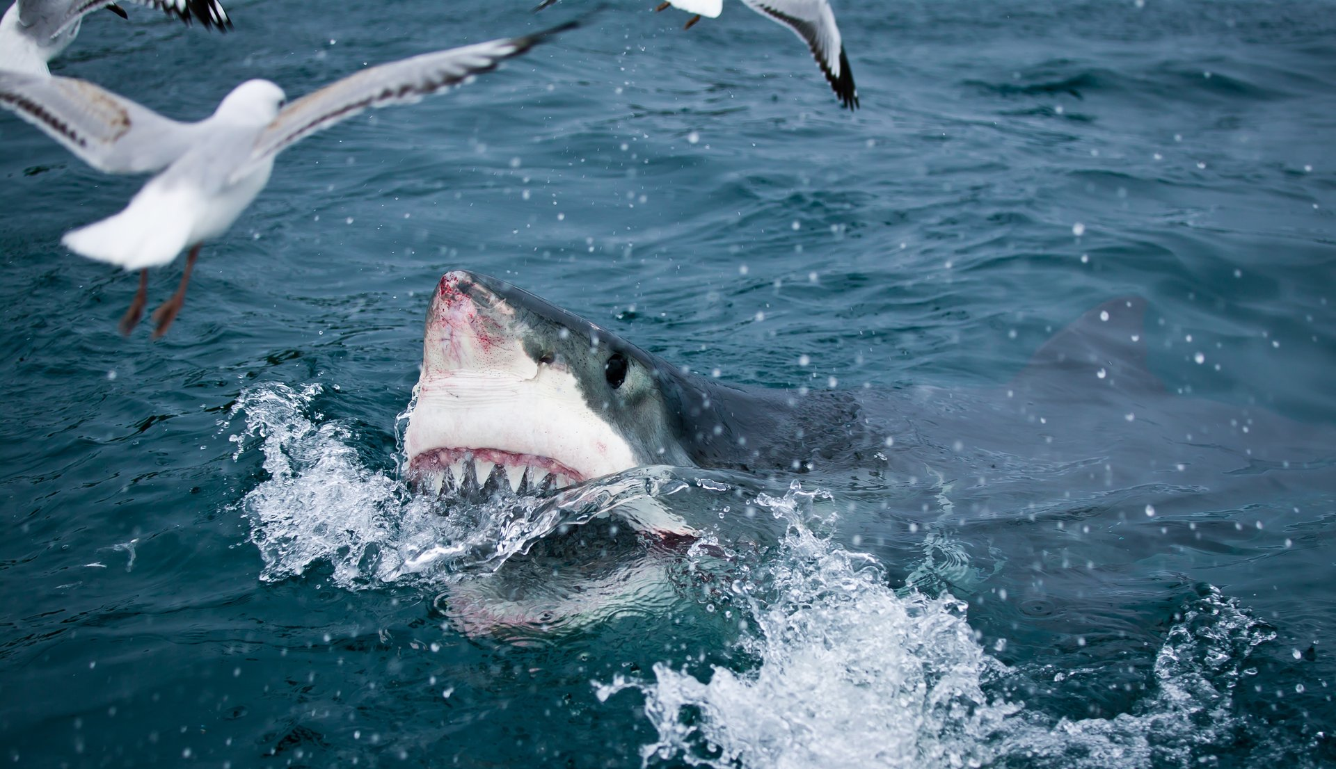 Great White Shark Cage Diving in New Zealand 2020 - Best Time