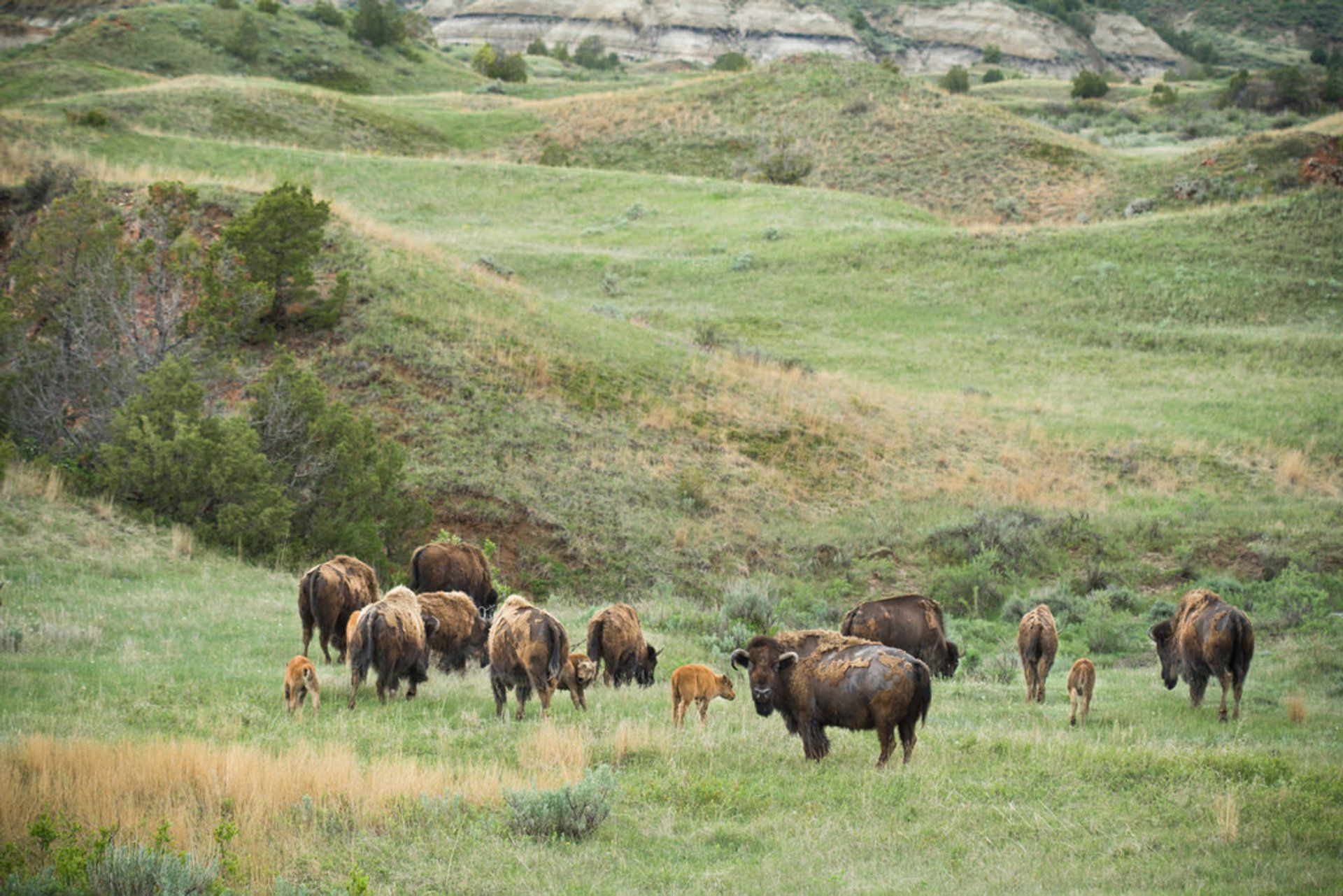 Baby Bison in the Theodore Roosevelt National Park in Midwest - Best Season 2020