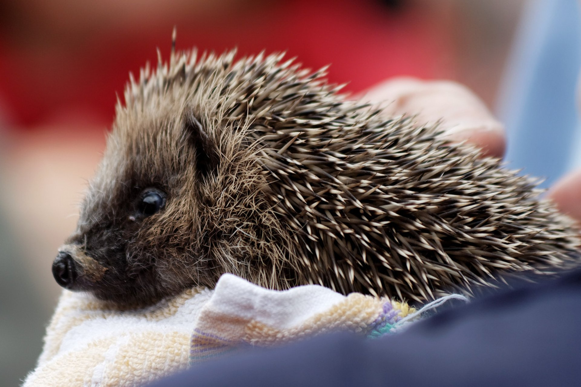Best time for Hedgehog Rescue in Wales 2020