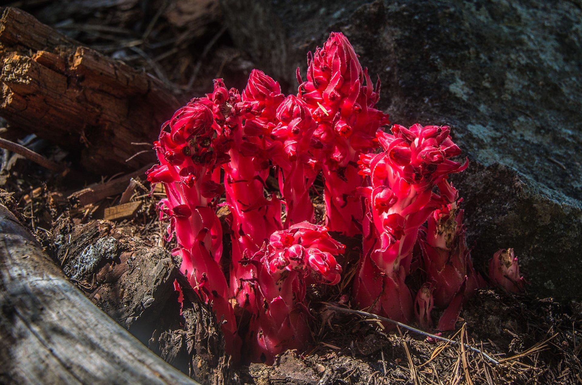 Snow Plant in Yosemite - Best Season
