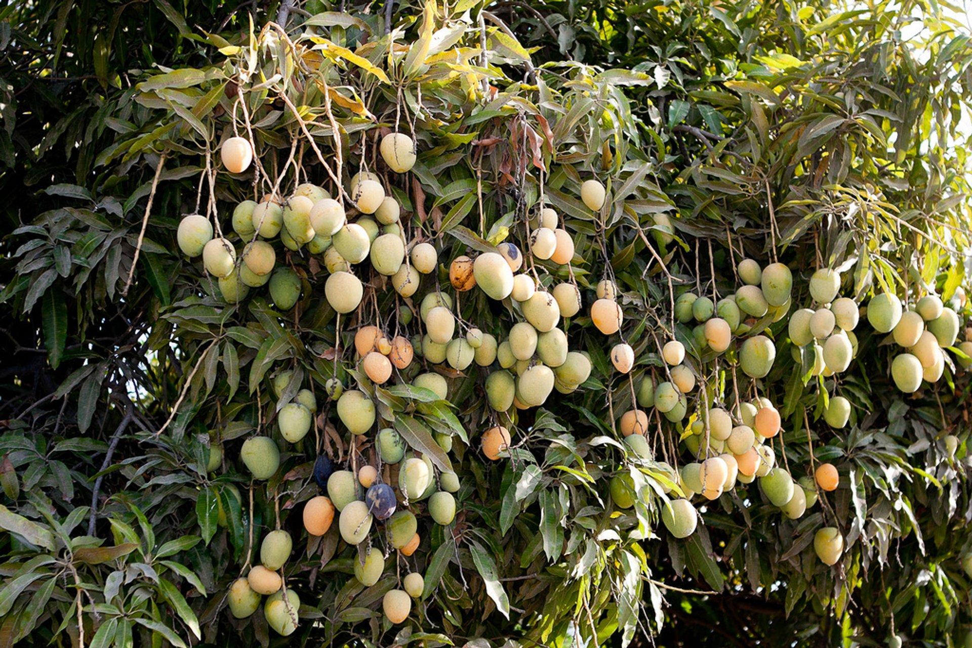Mango in Peru 2020 - Best Time