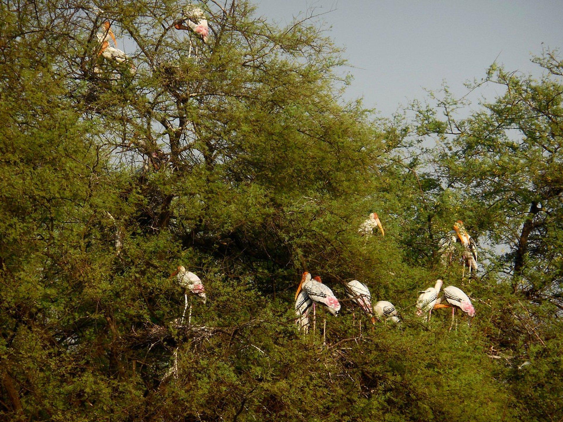 Storks in Keoladeo National Park 2020