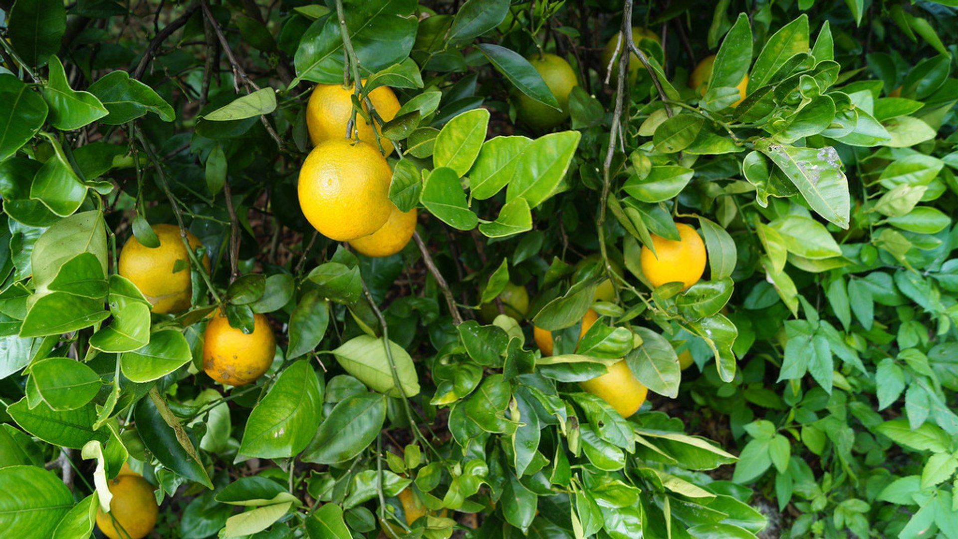Best time for Citrus Season in Florida 2020