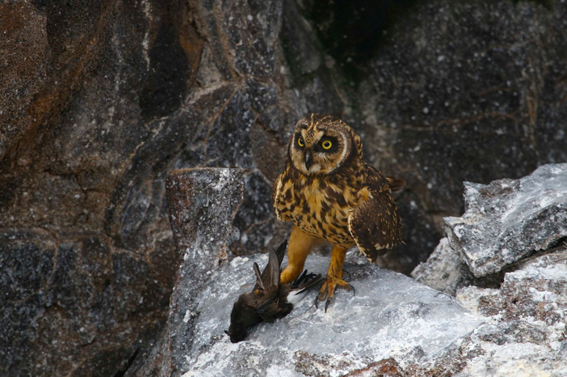 Best Chance of Spotting Elusive Owls in Galapagos Islands - Best Season 2019