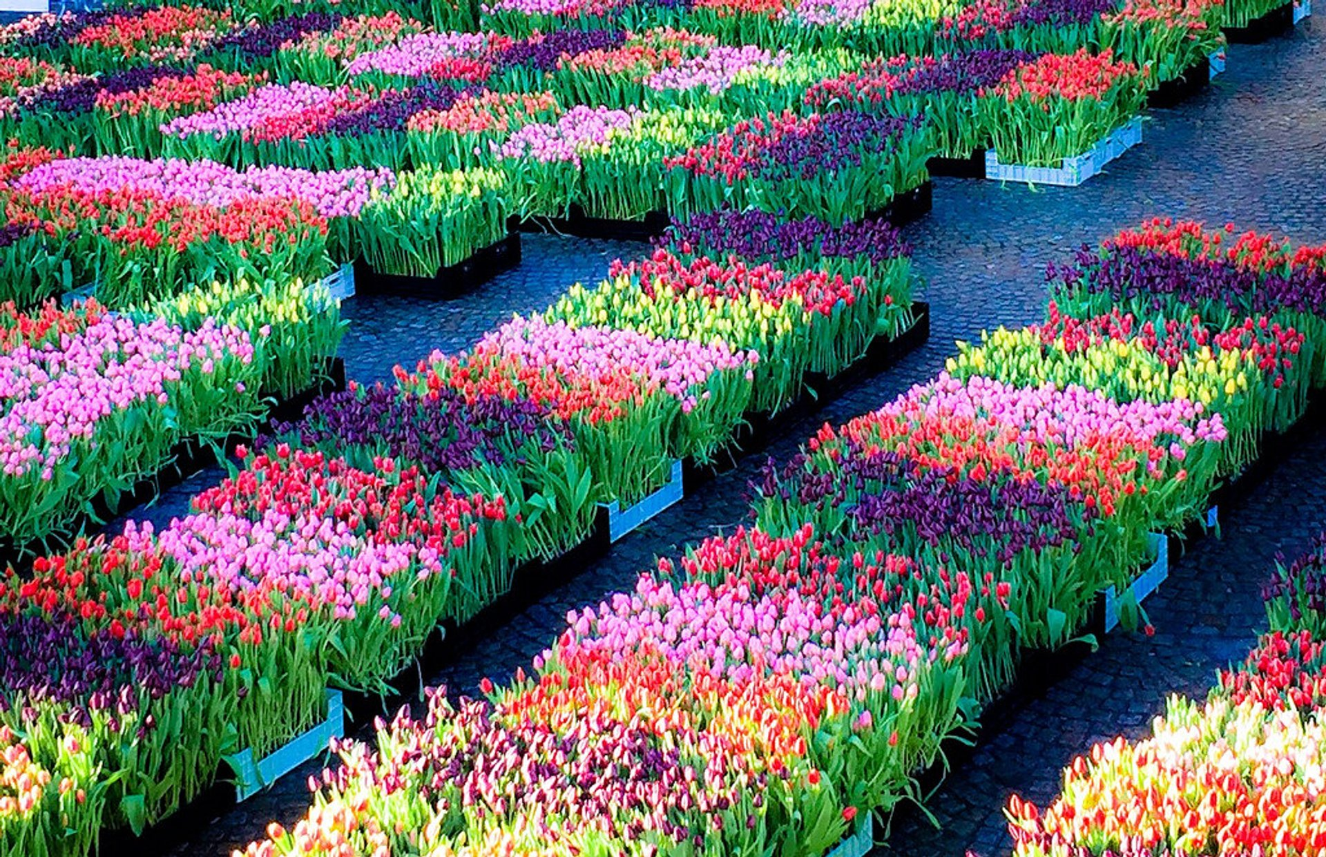 National Tulip Day in The Netherlands 2019 - Best Time