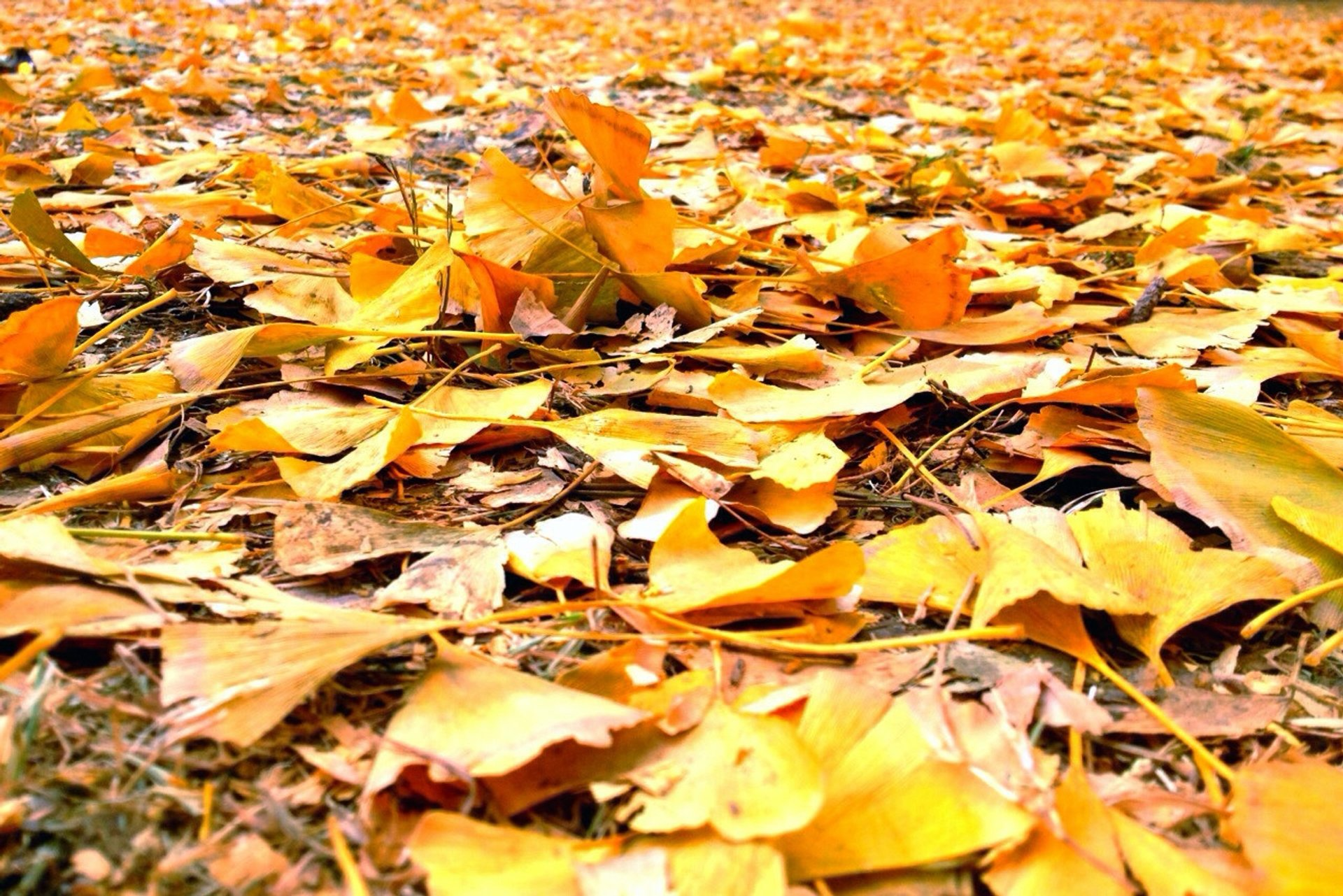 Fallen leaves of Diaoyutai Boulevard 2019