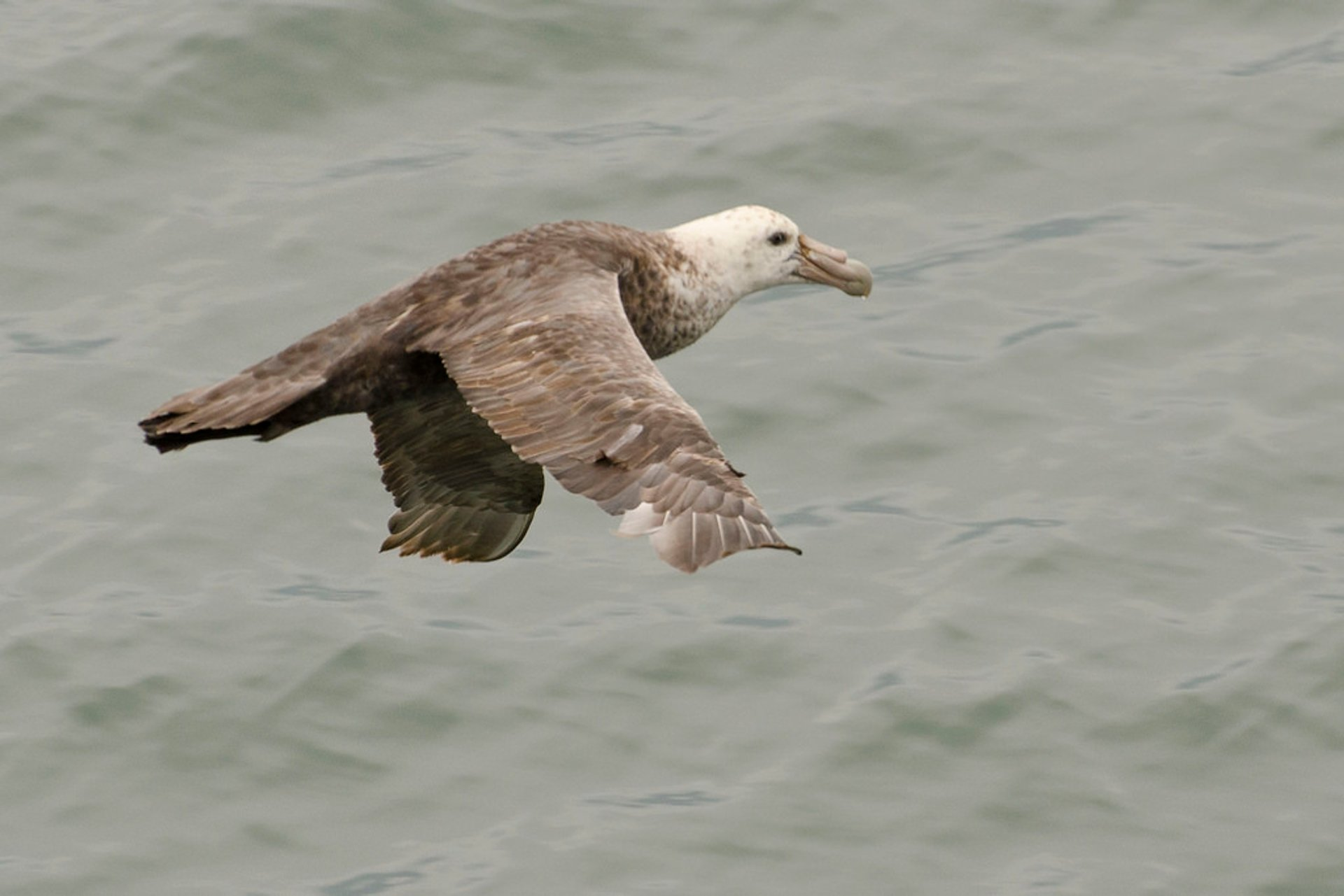 Southern Giant Petrel in Argentina - Best Season 2020